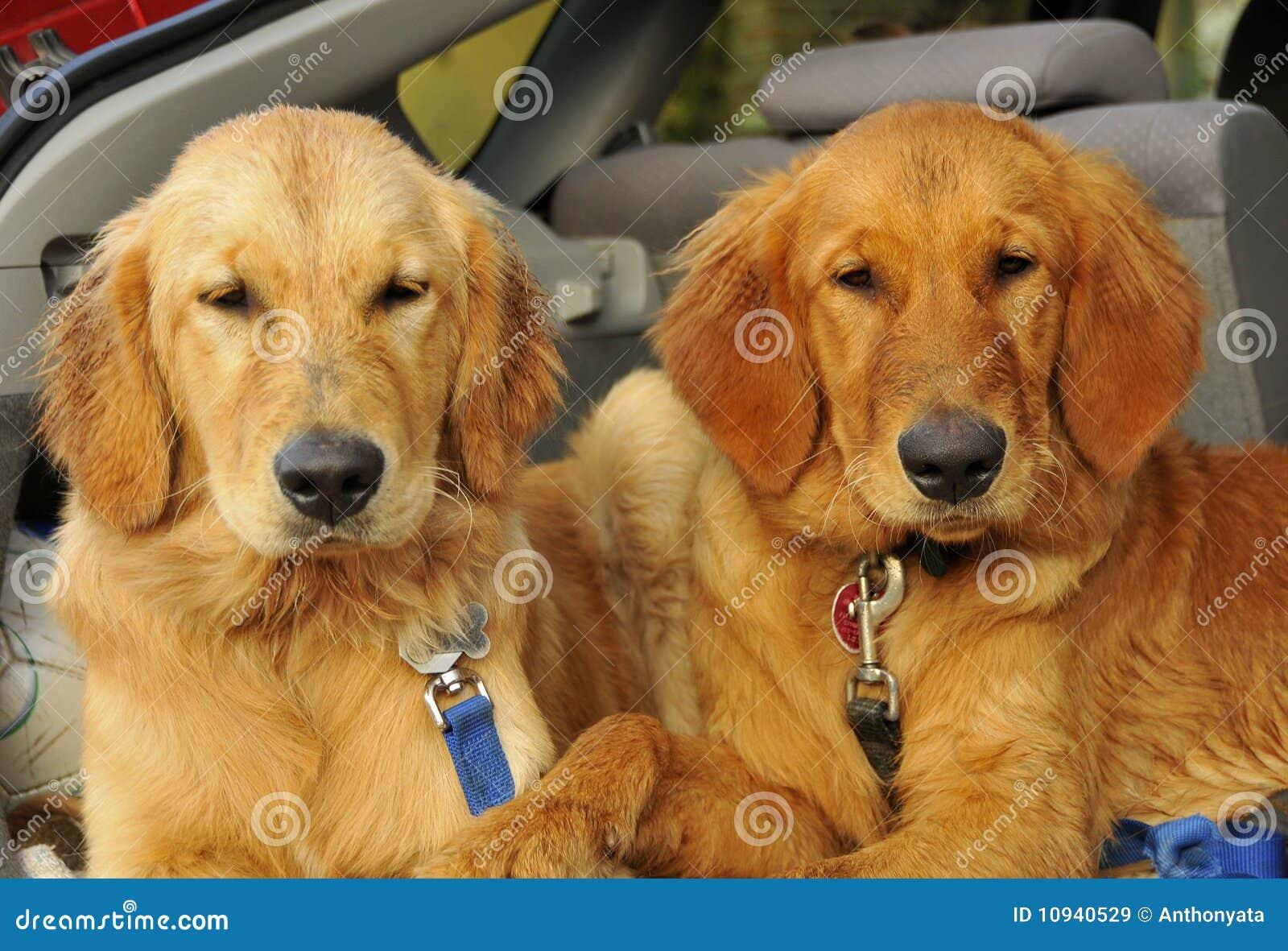 золотистый retriever puppys