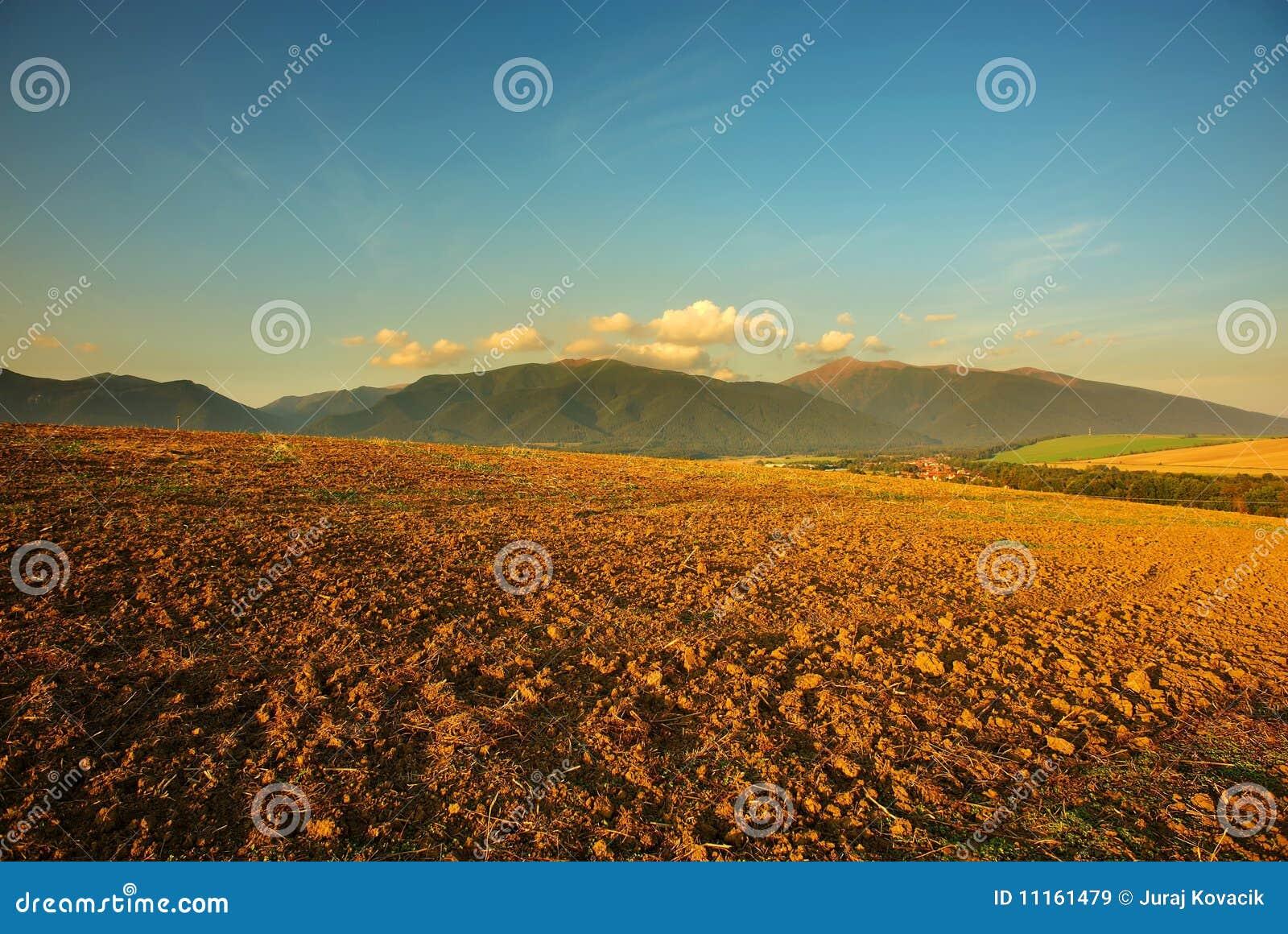 золото поля