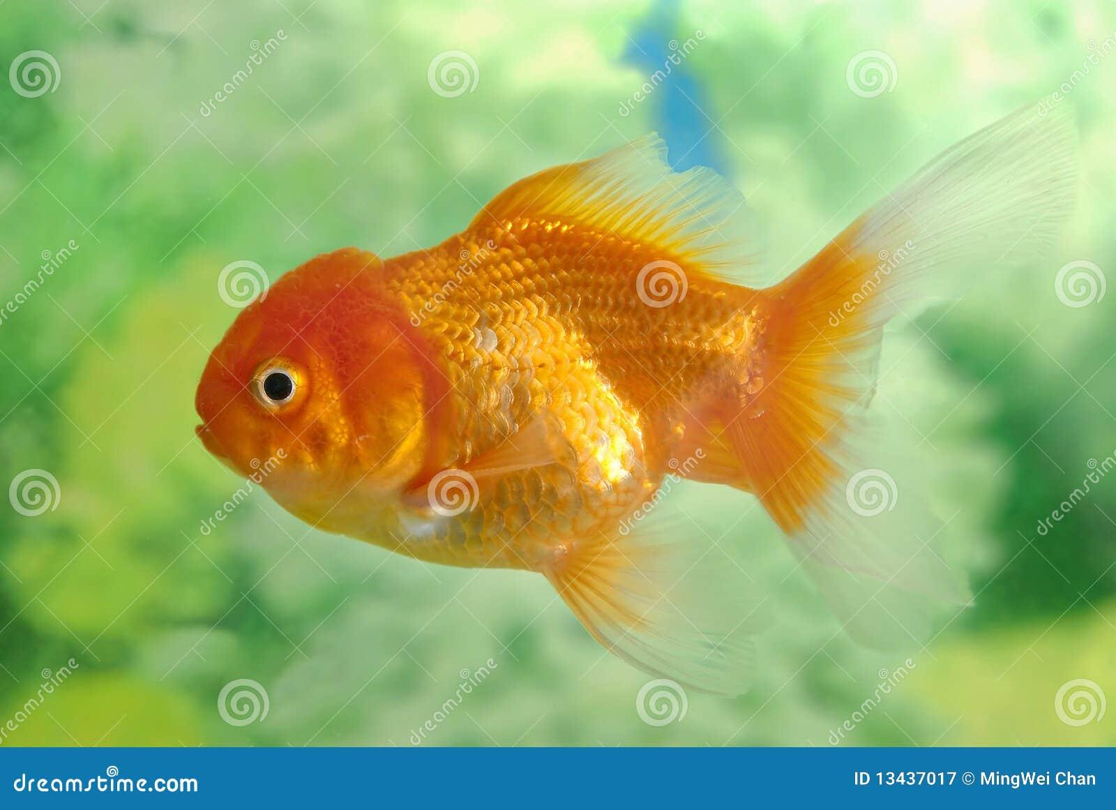 золото рыб