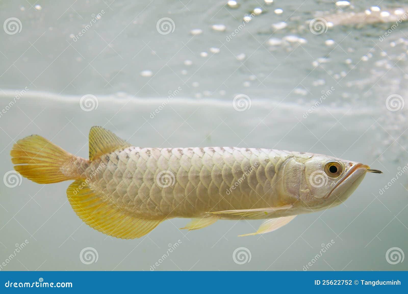 золото рыб arowana