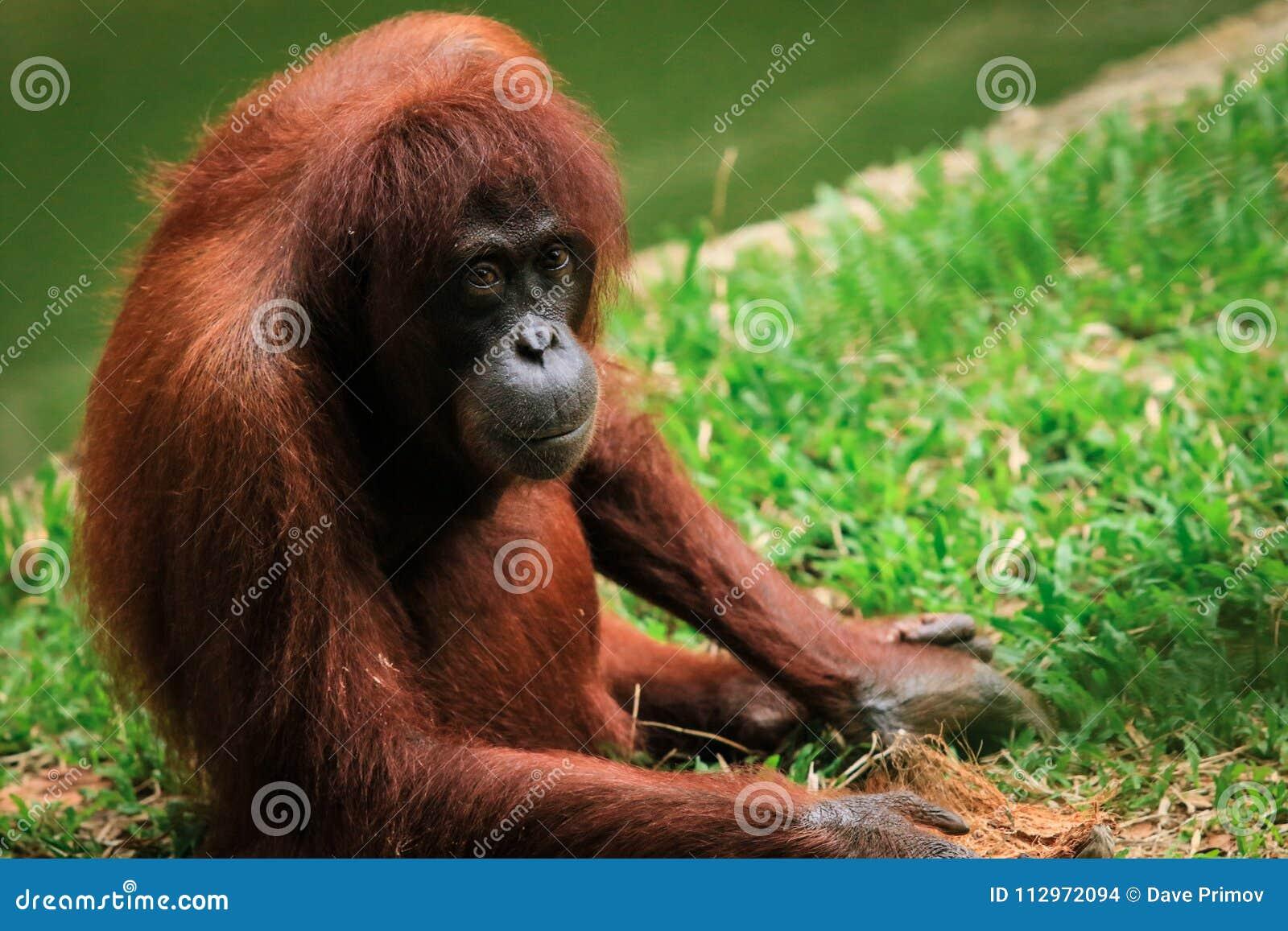 Зоопарк орангутана в Kota Kinabalu, Малайзии, Борнео