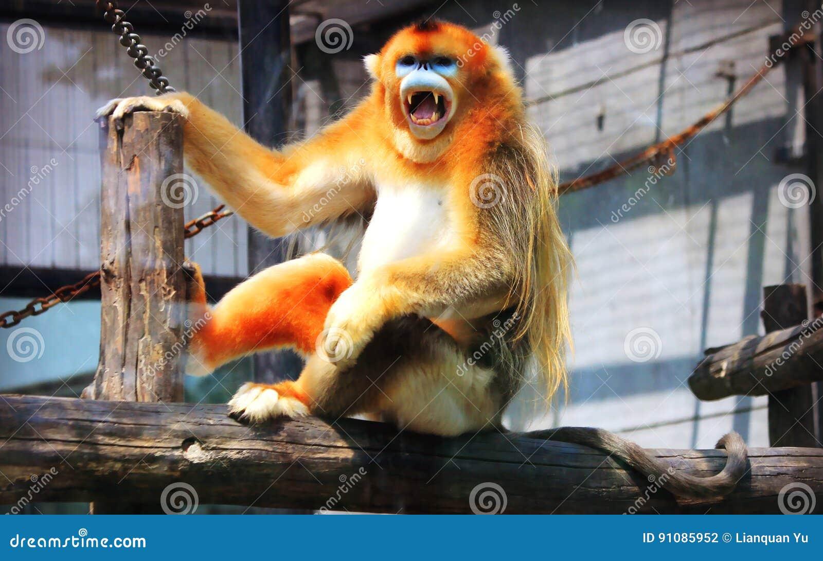 Золотая Оскорбление-обнюханная обезьяна