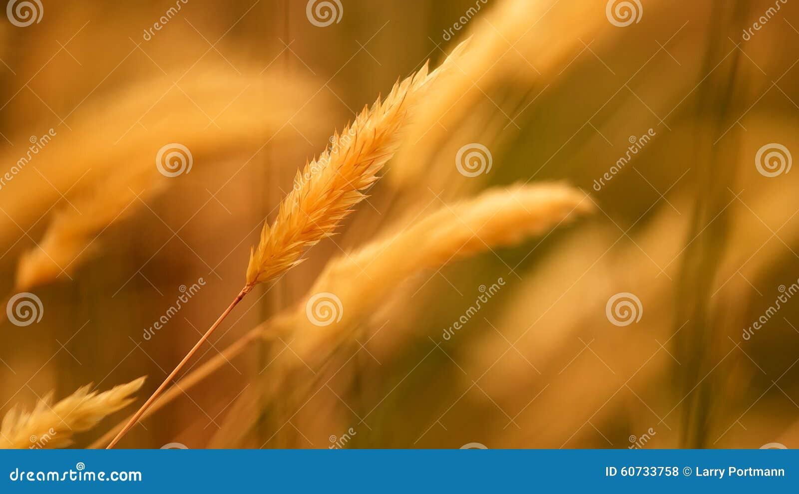 Золотая трава Брайна для предпосылки