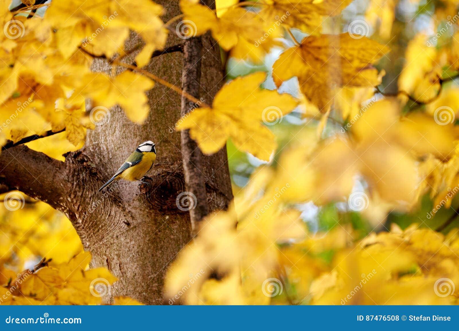 золотистый клен листьев
