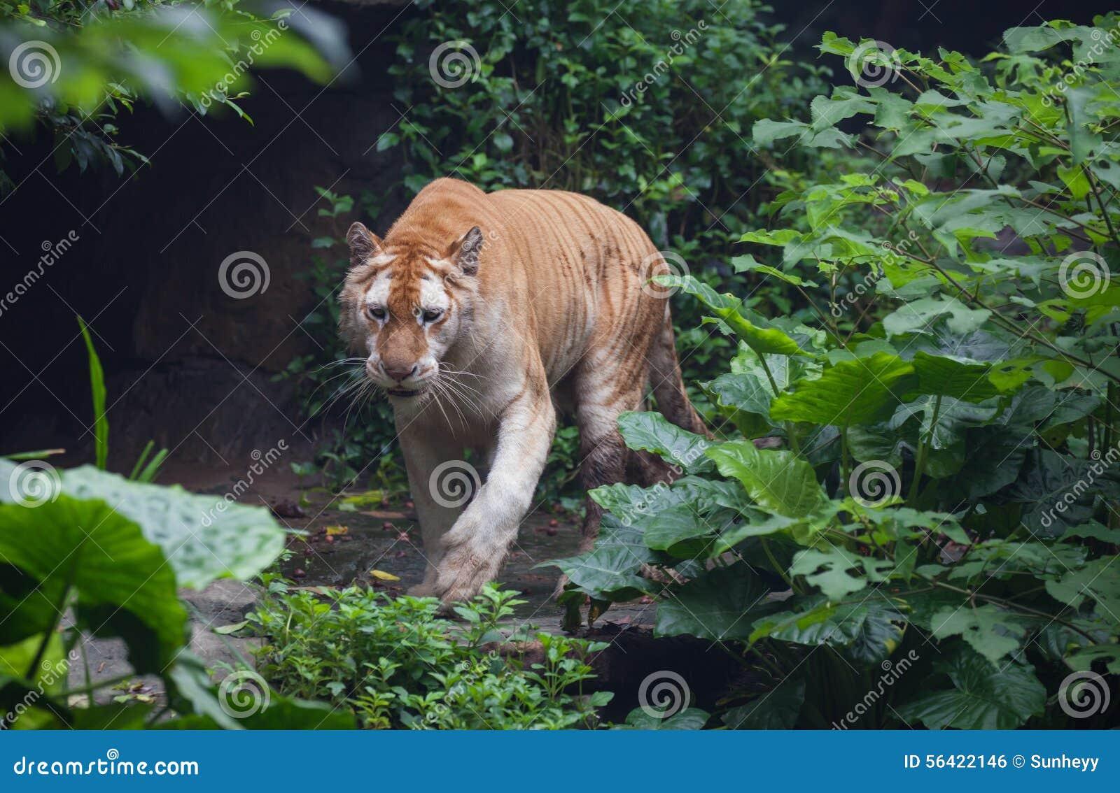 Золотистый тигр