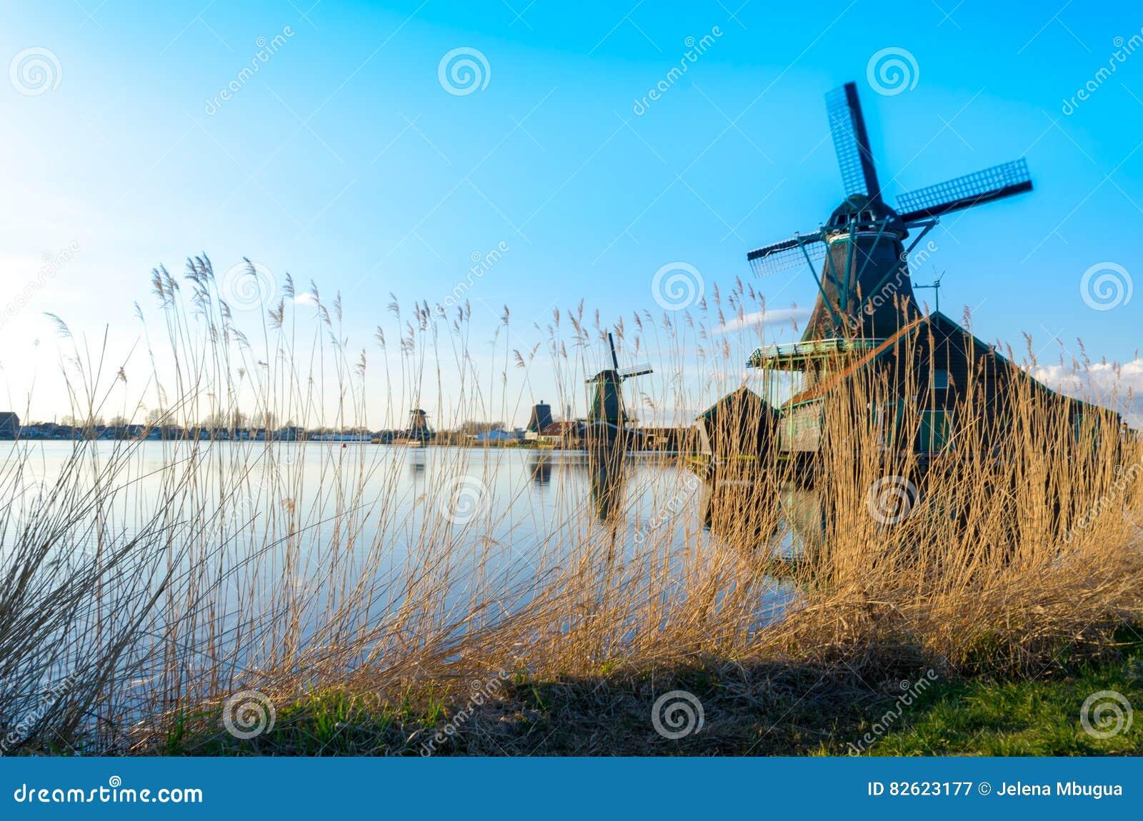 Золотые тростники растя историческими ветрянками на Zaanse Schans, Нидерландах