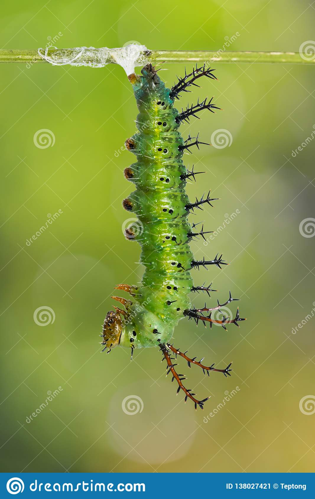 Зрелая гусеница Parthenos sylvia клипера подготавливает для pupation