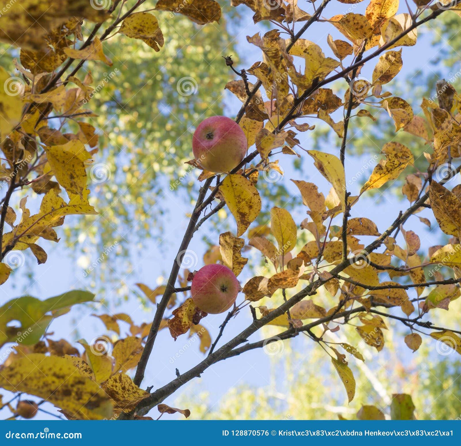 Зрелая красная смертная казнь через повешение конца-вверх яблок на ветвях яблони в осени на предпосылке пожелтетых листьев и голу
