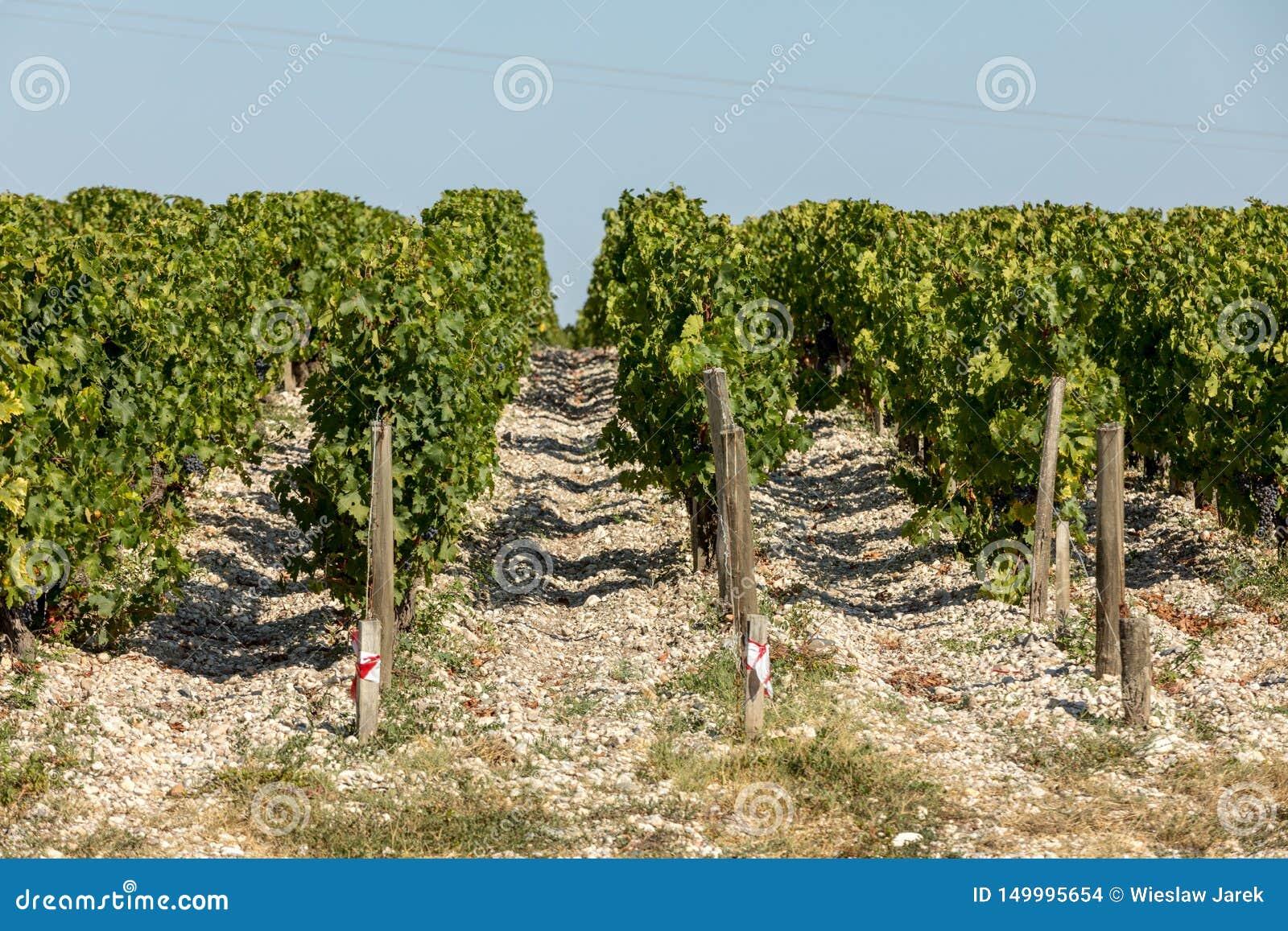 Зрелые красные виноградины на строках лоз в vienyard перед сбором вина