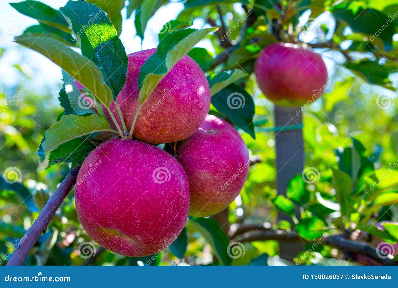 Зрелые плоды красных яблок на ветвях молодых яблонь