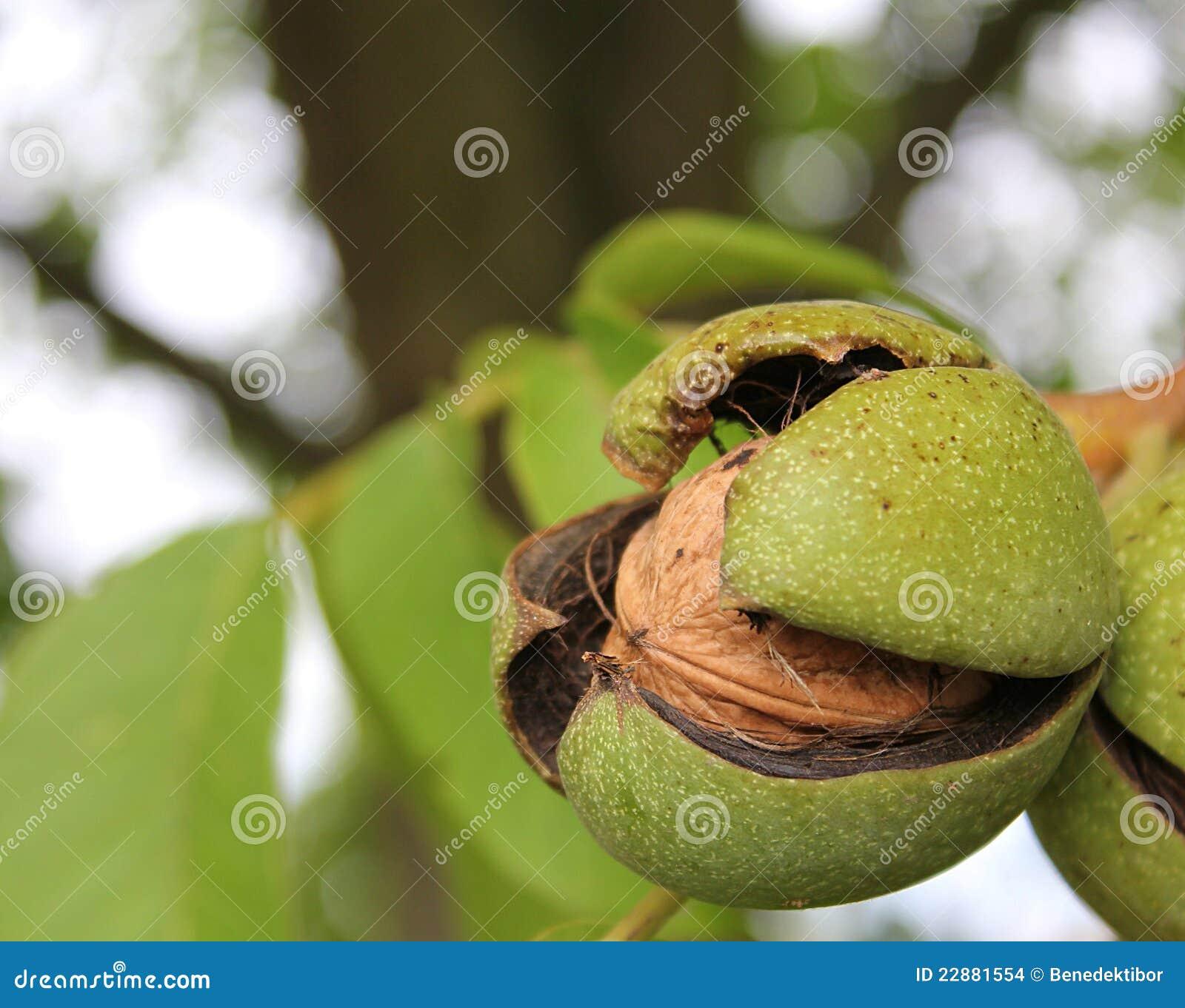 зрелый грецкий орех