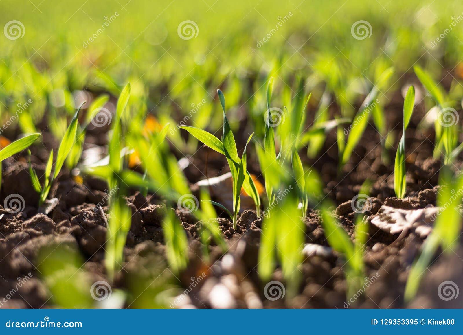 Зрея хлопья зимы, поле зерен зимы выровнялись в сентябре на красивый, солнечный день осени Съемка конца-вверх