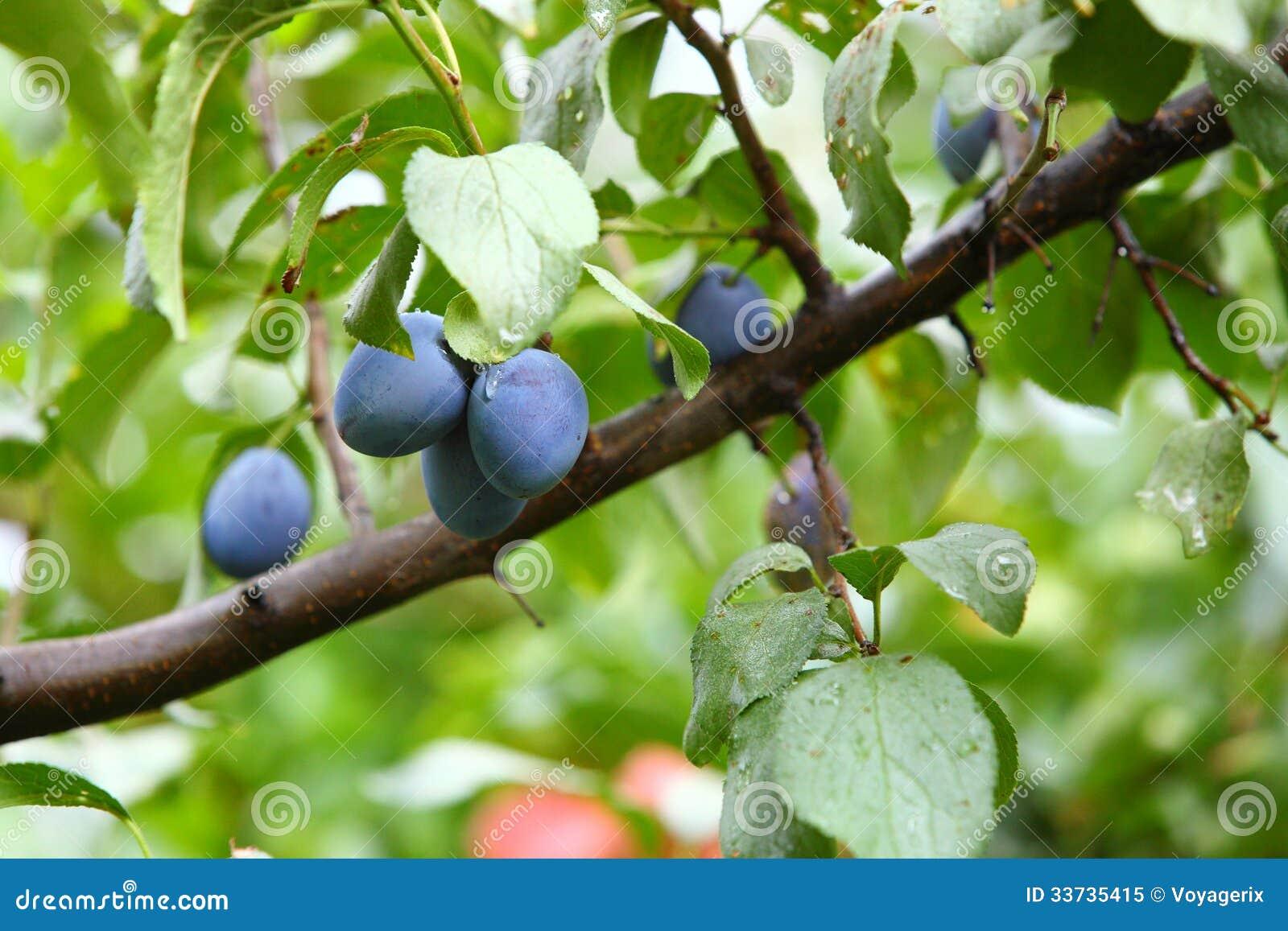 Зрелая фиолетовая слива на ветви