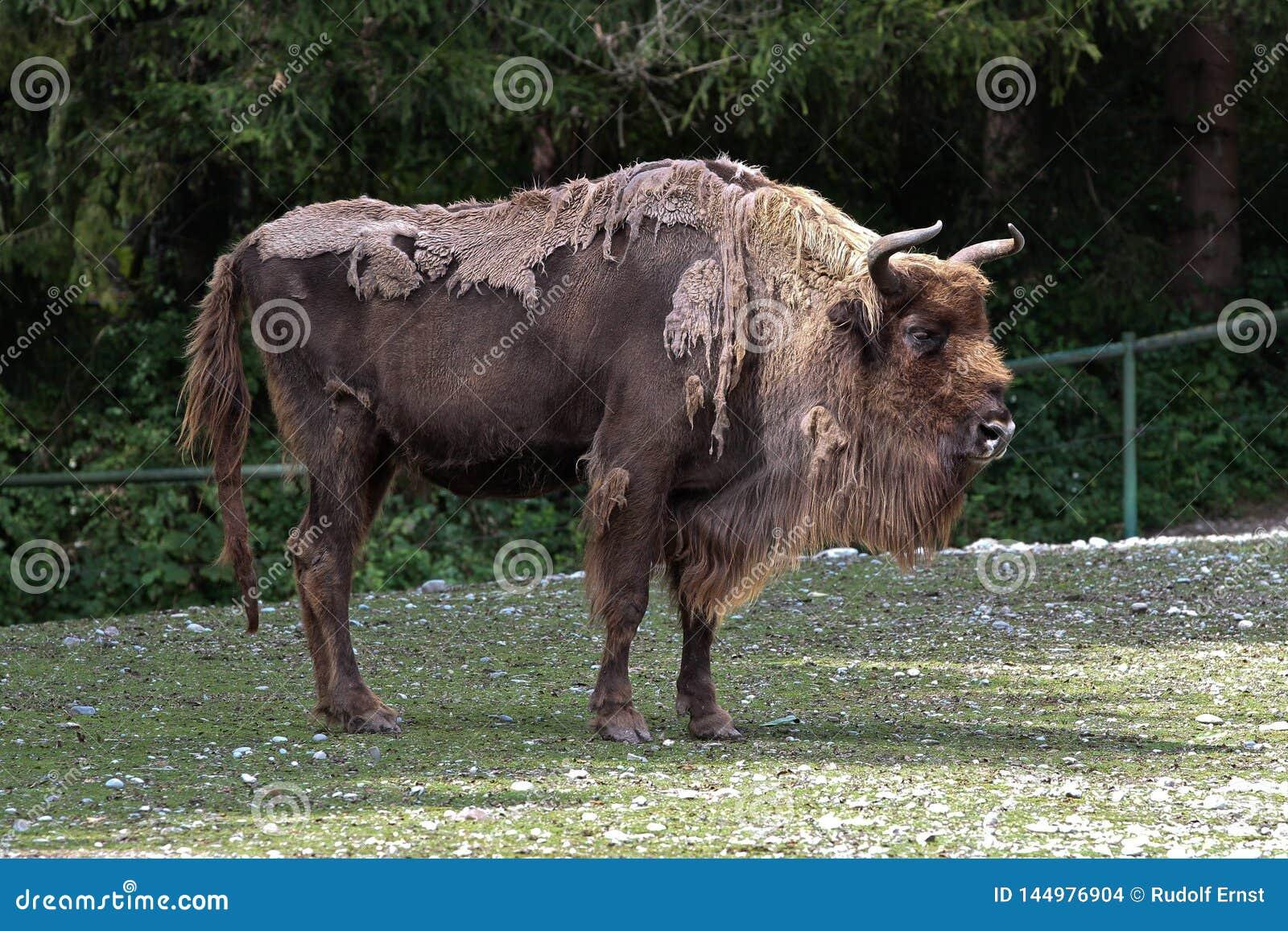 Зубр или европейский бизон, bonasus бизона в немецком зоопарке