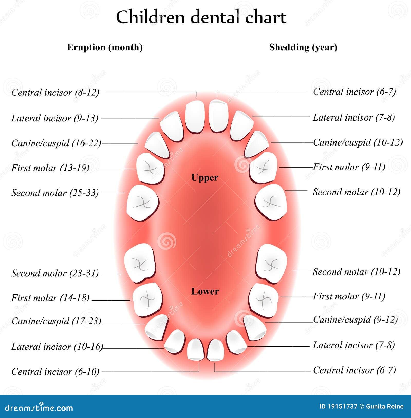 В какой последовательности выпадают молочные зубы у детей схема