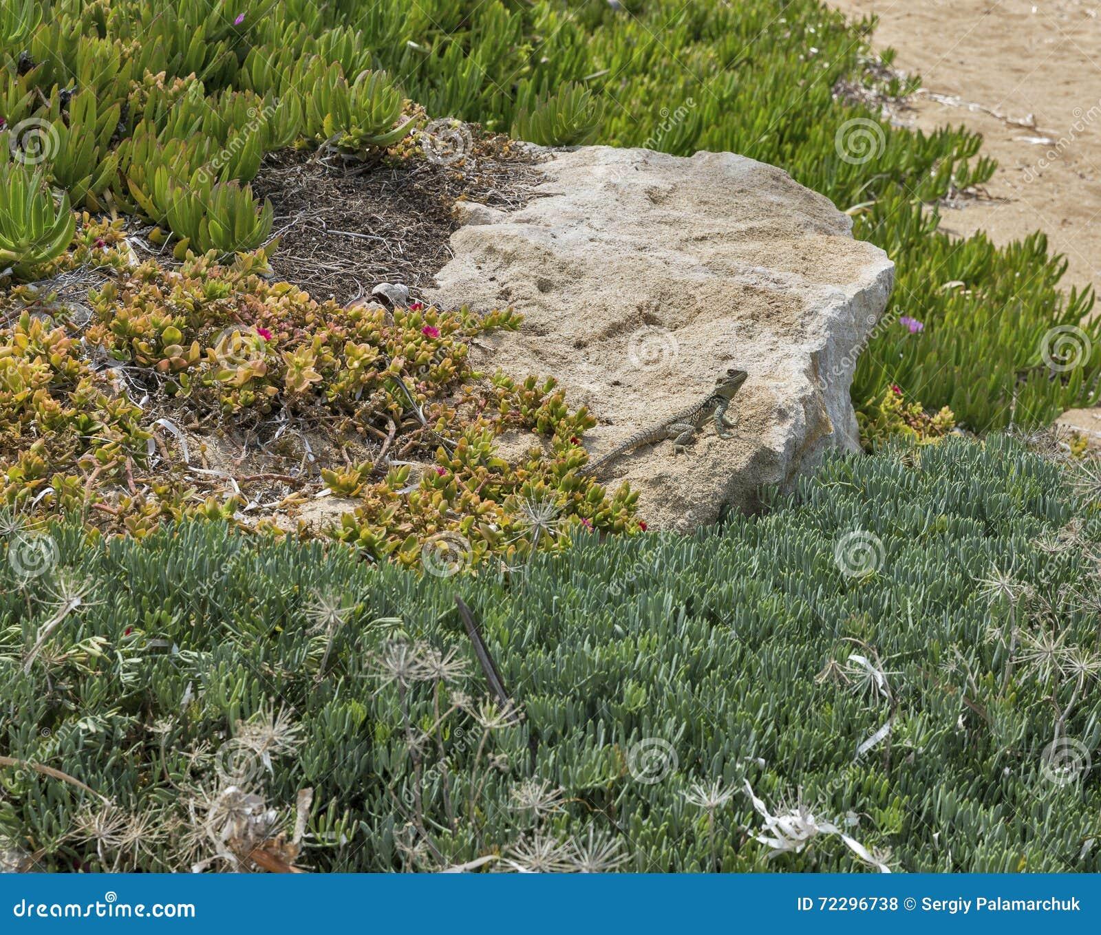 Download Игранная главные роли ящерица агамы на утесе на острове в Кипре Стоковое Фото - изображение насчитывающей bodysuits, ангстрома: 72296738