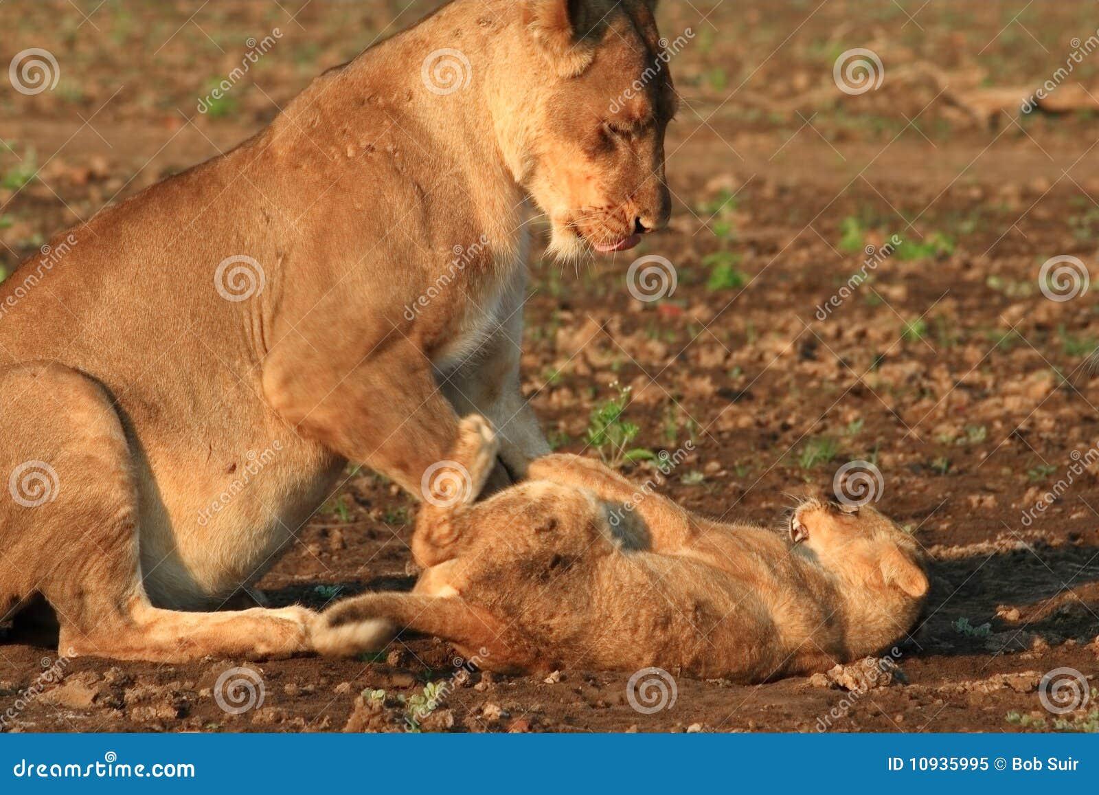 играть львицы новичка одичалый