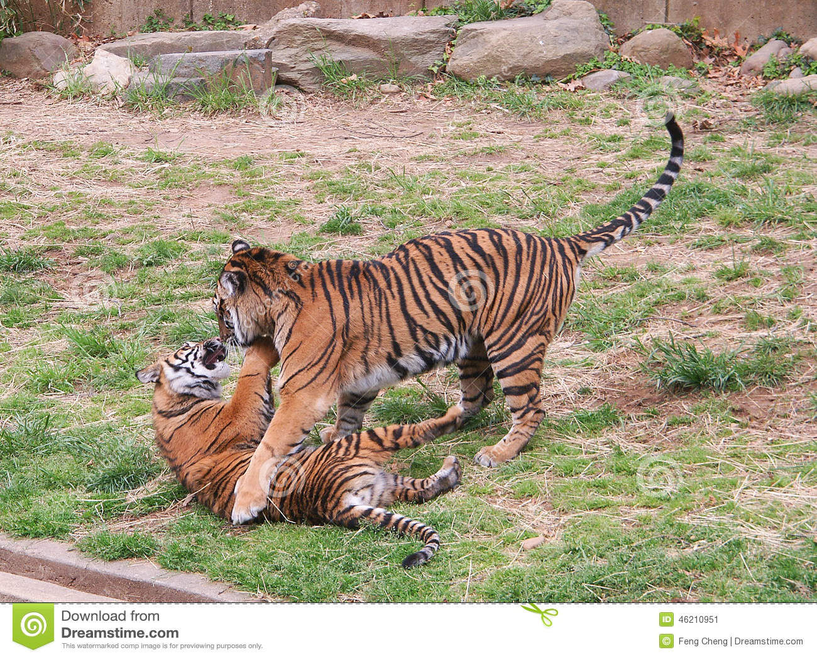 Играть 2 новичков тигра