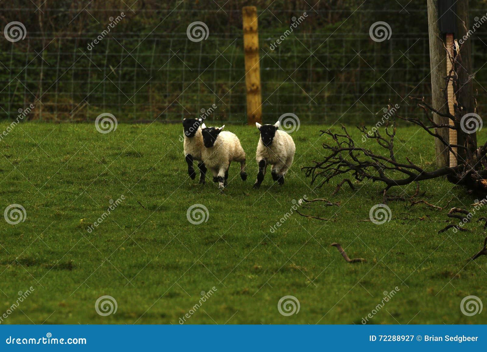 Играть овечек времени весны