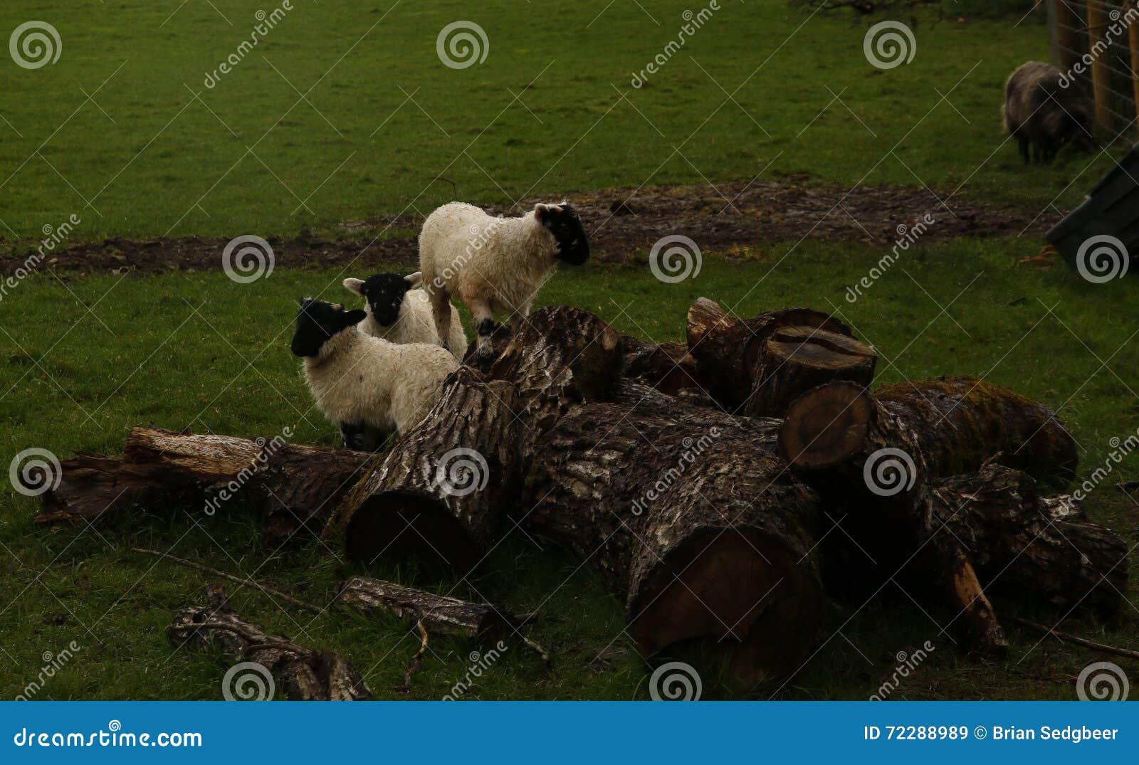 Download Играть овечек времени весны Стоковое Изображение - изображение насчитывающей имеющ, играть: 72288989
