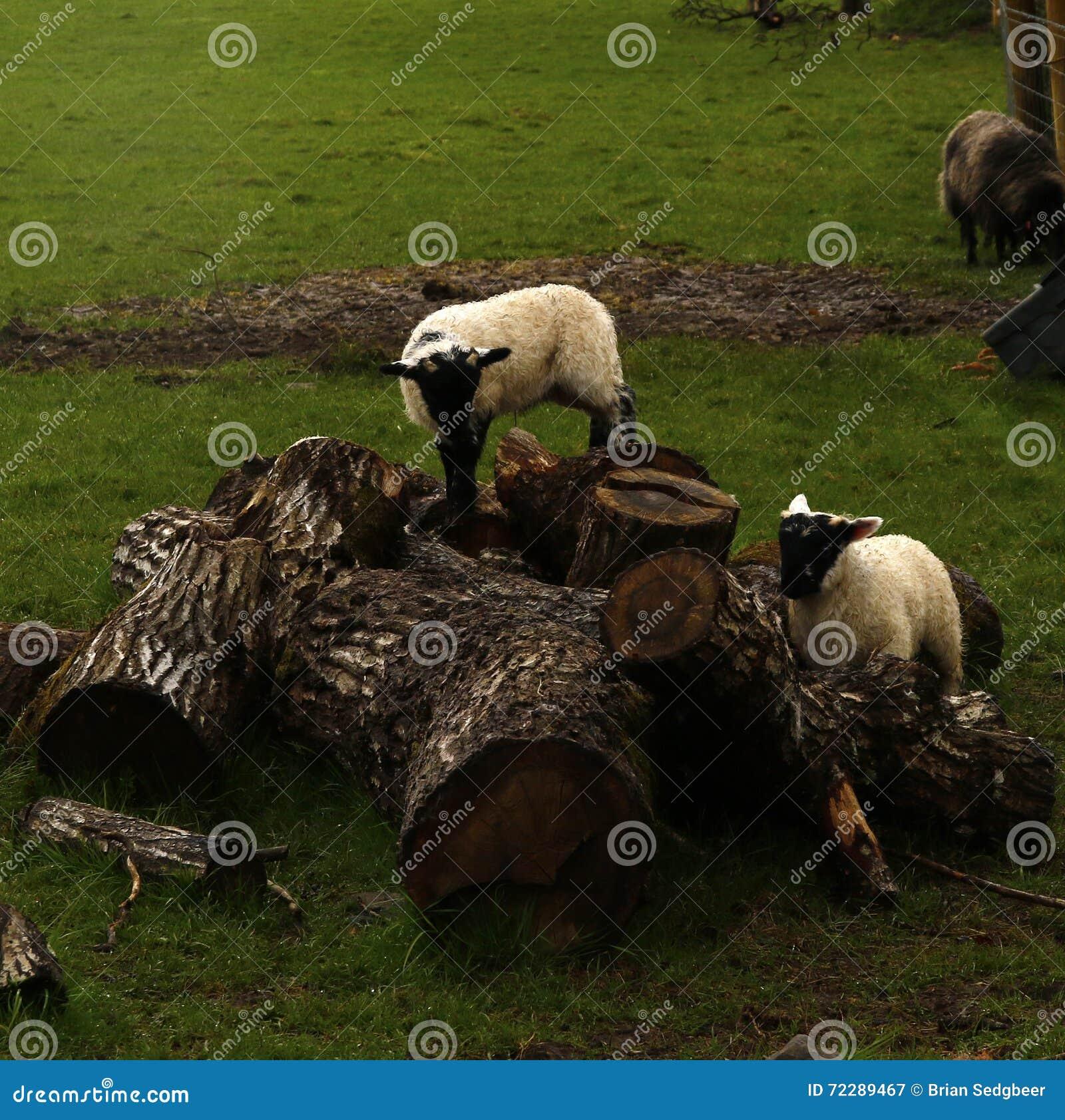 Download Играть овечек времени весны Стоковое Изображение - изображение насчитывающей высоко, весна: 72289467