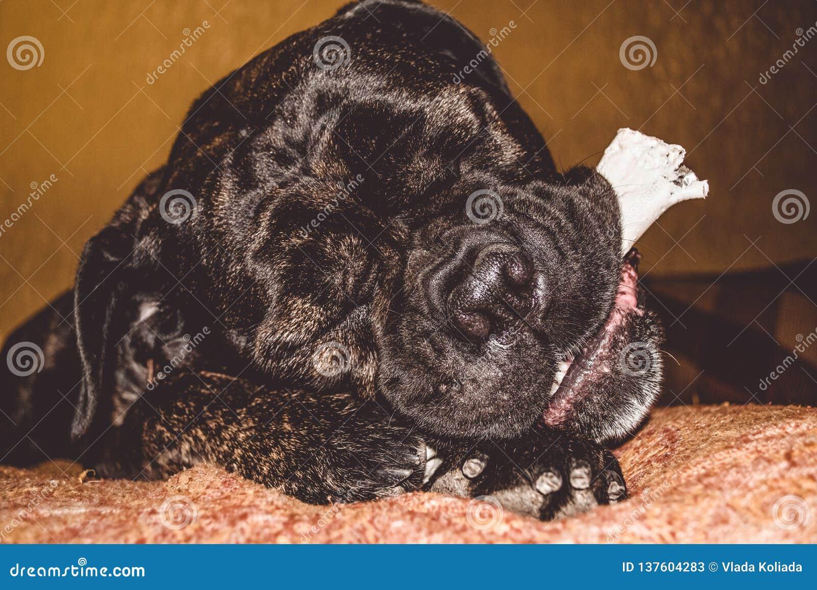 Игры большой и черной собаки с ручкой дома Порода Kan Corso, французского бульдога прозвищем Lesya симпатичный любимчик