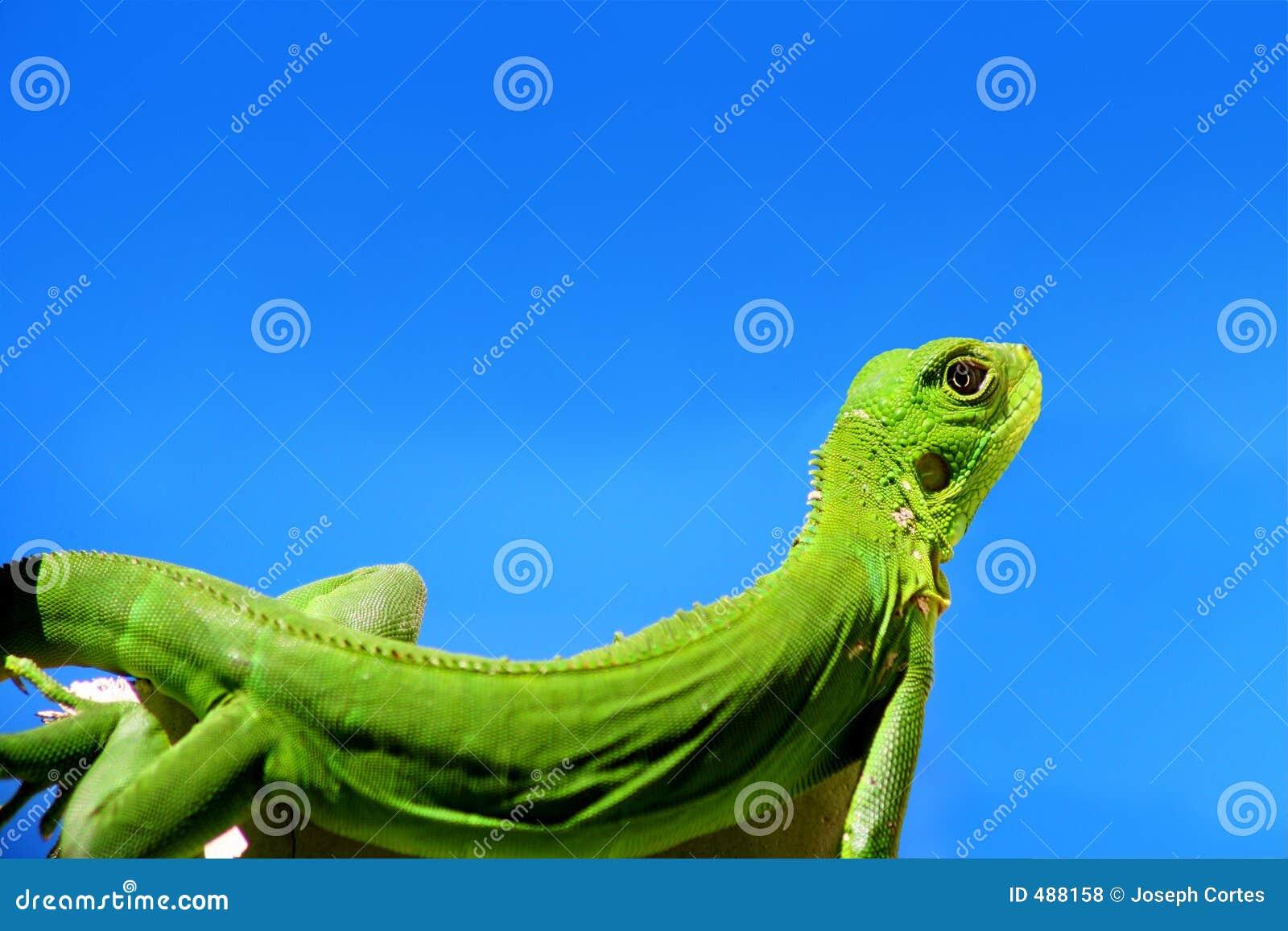 игуана голубого зеленого цвета над небом