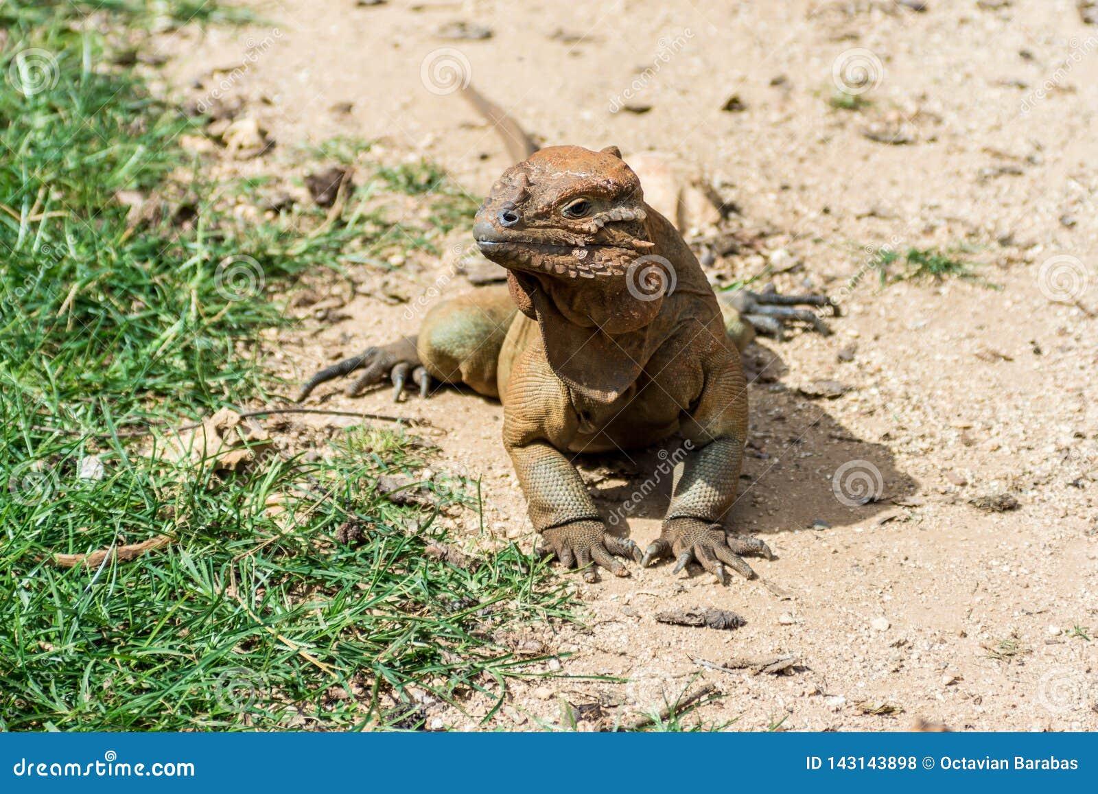 Игуана носорога нагревая на песке