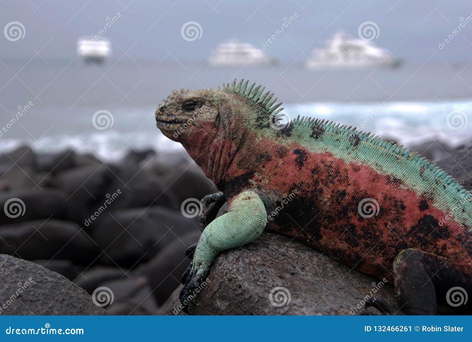Игуана островов Галапагос морская греясь на вулканических породах