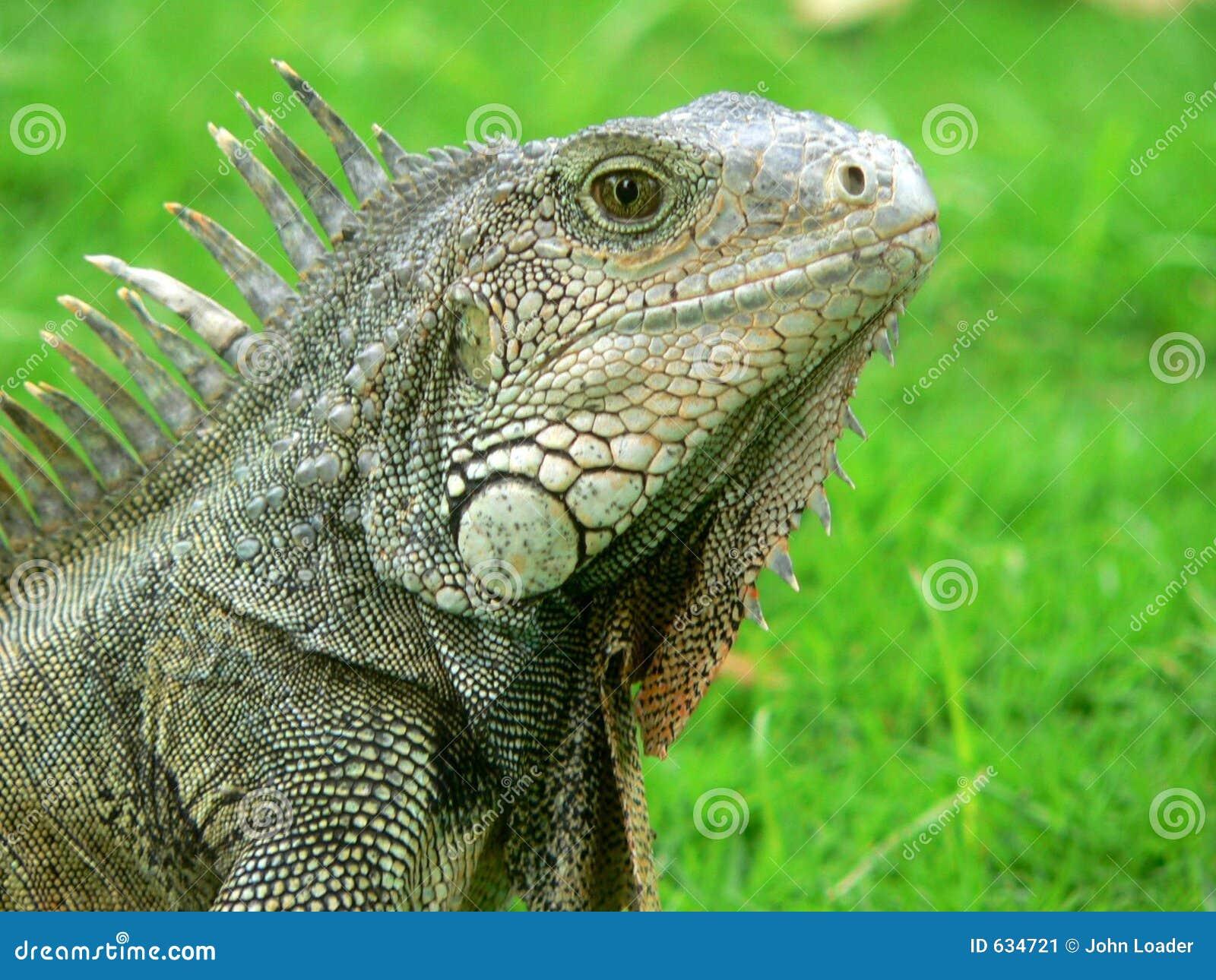 Download игуана ecuadorian стоковое изображение. изображение насчитывающей динозавр - 634721