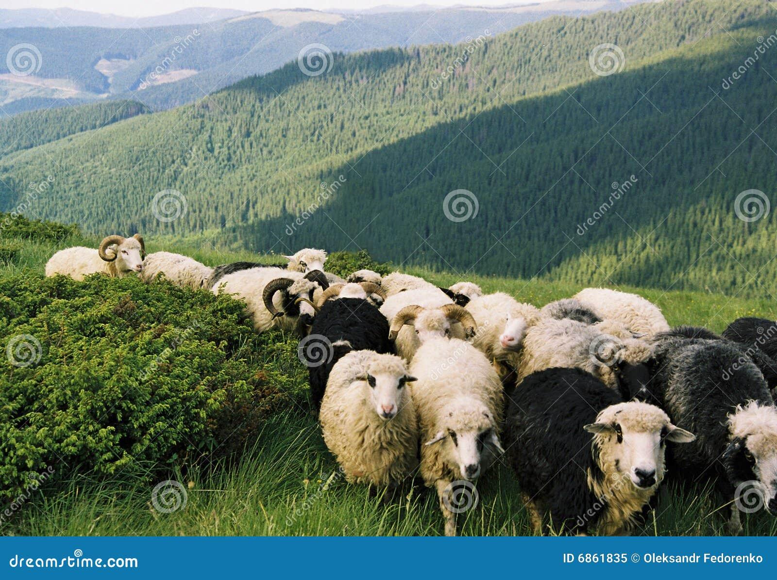 идут sheeps