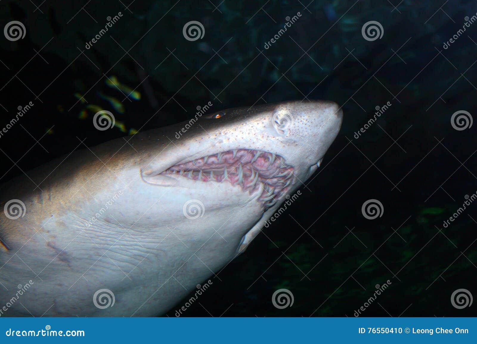 Изображение запаса тигровой акулы (Galeocerdo более cuvier)