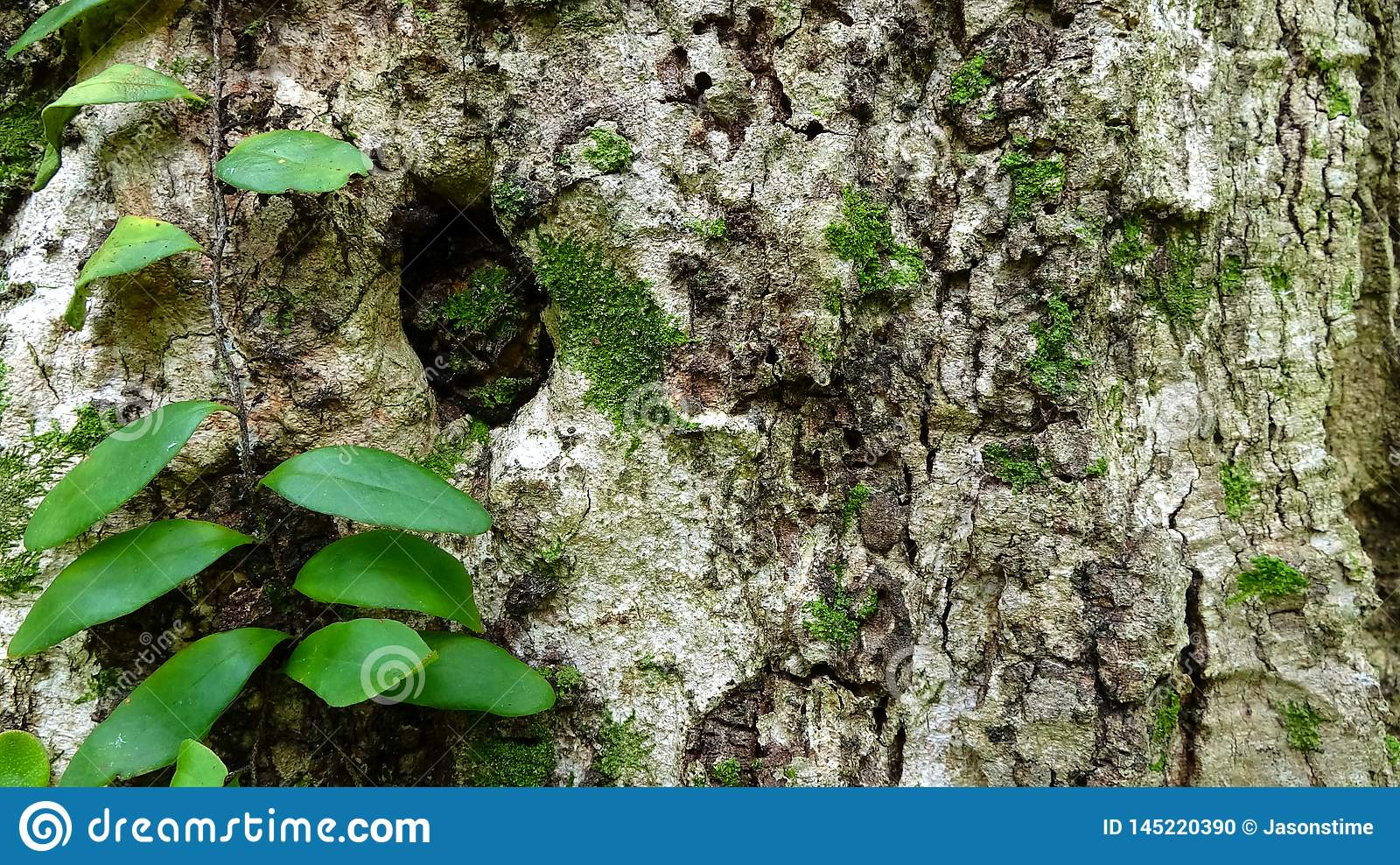 Изображение предпосылки коры дерева человека лозы