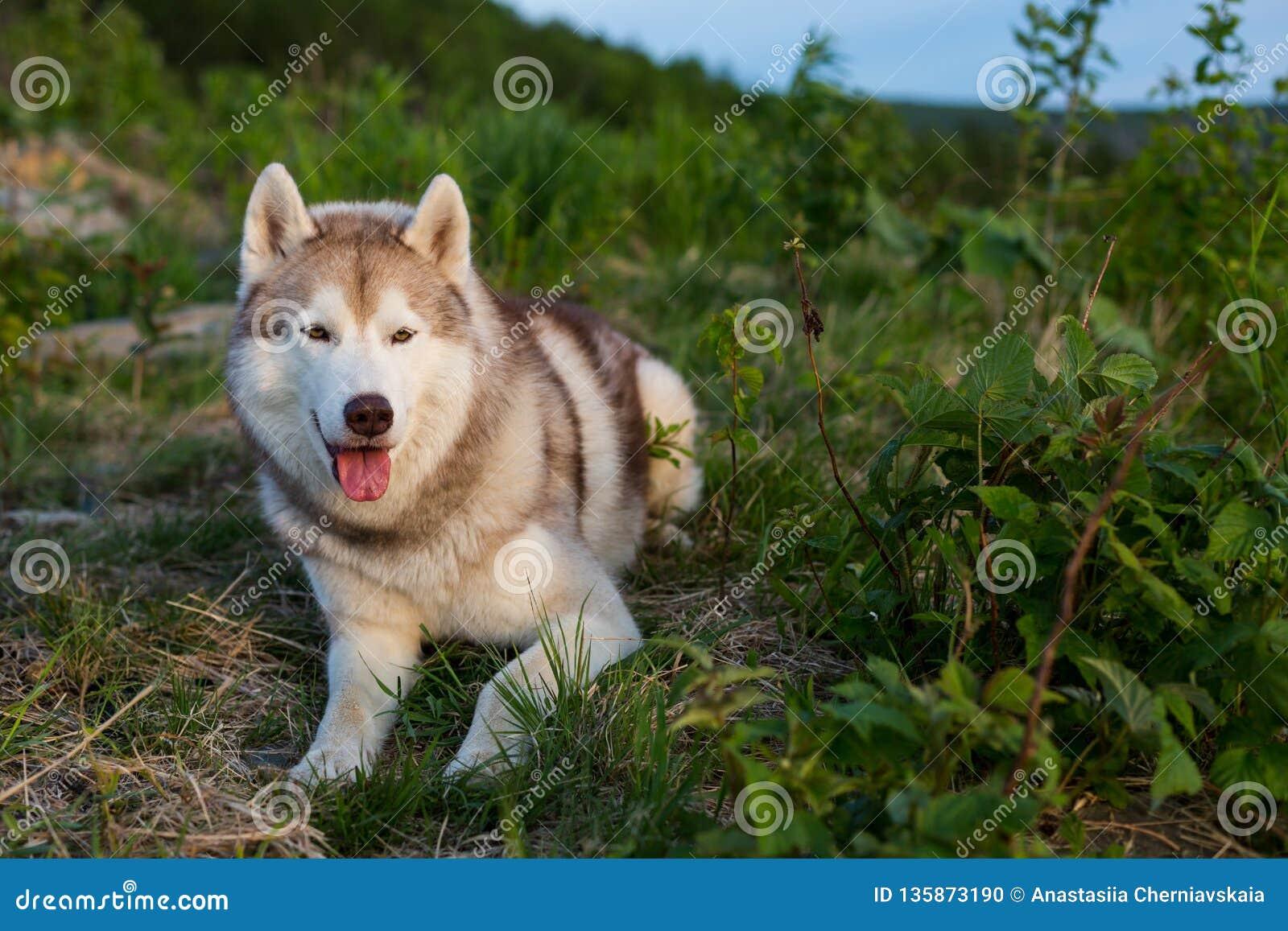 Изображение свободной и prideful бежевой и белой сибирской сиплой собаки лежа на холме в зеленой траве на заходе солнца