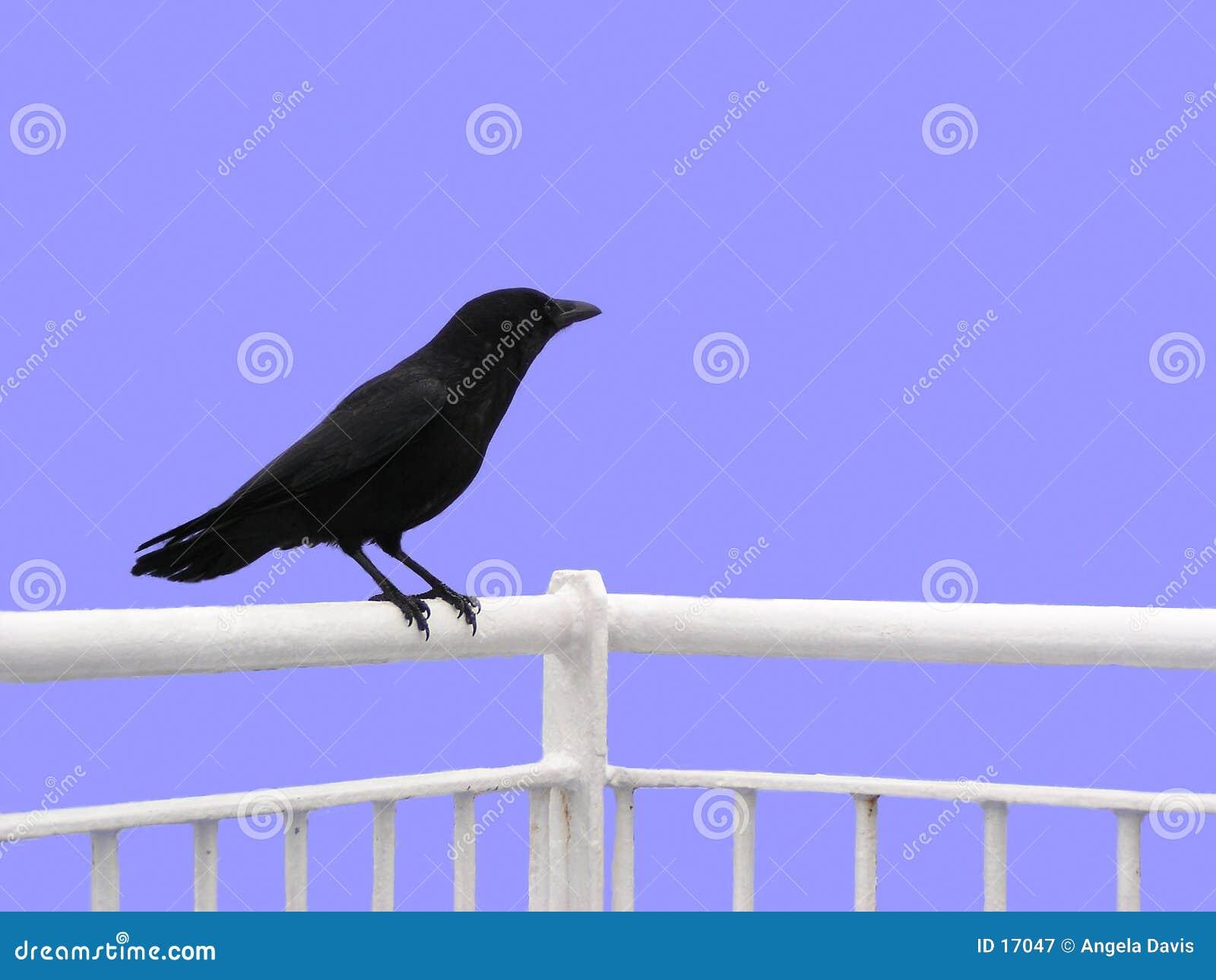 изолированная ворона