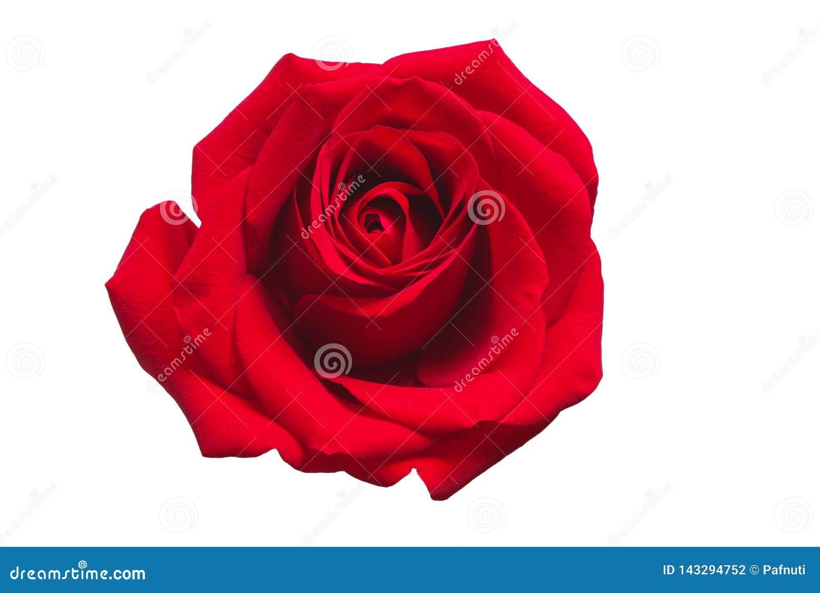 изолированная предпосылкой белизна розы красного цвета