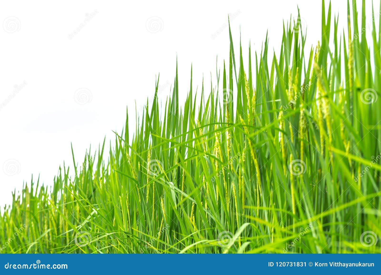 Изолированная рисовая посадка зеленой травы