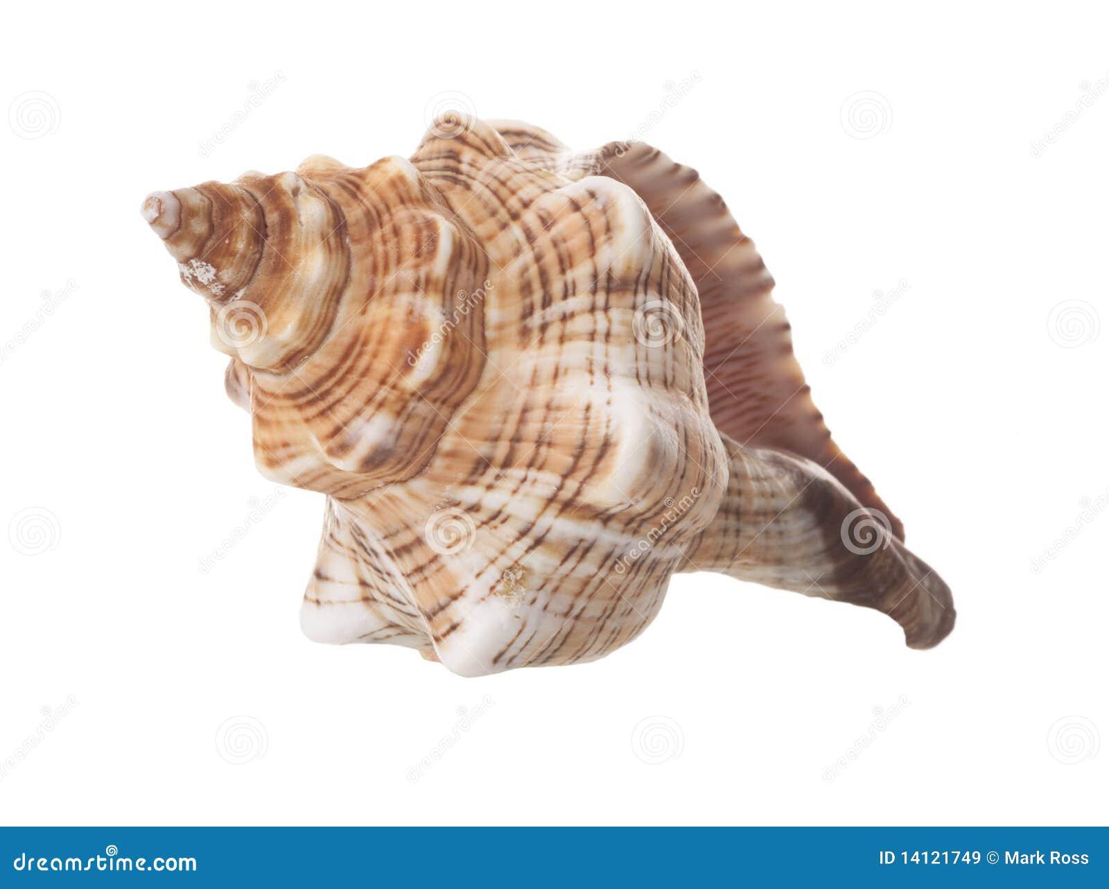 изолированная спираль раковины моря
