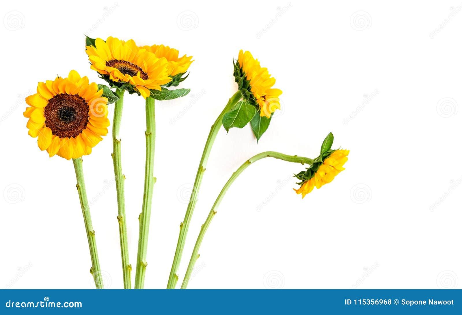 изолированные солнцецветы белые