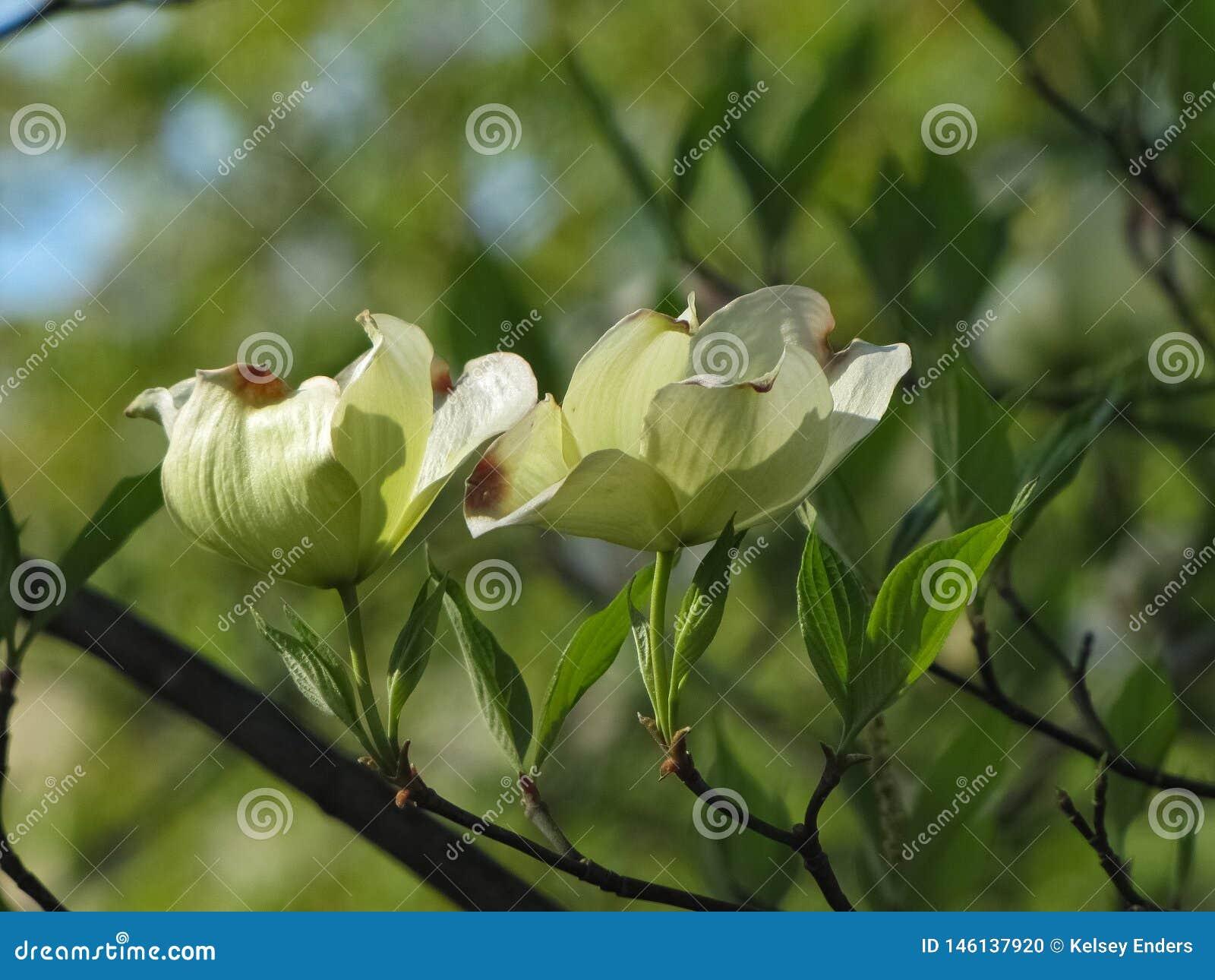 Изолированные цветеня на дереве кизила