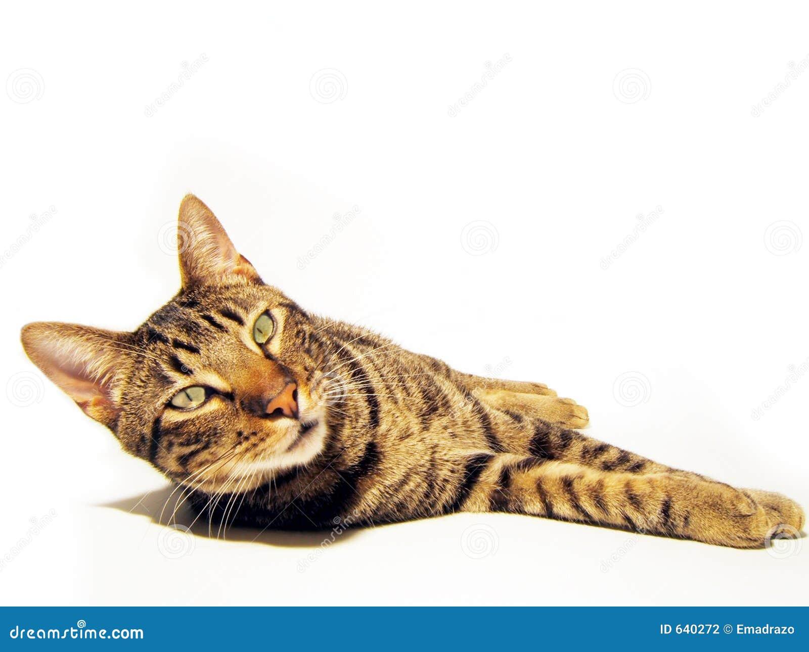 Download изолированный кот стоковое фото. изображение насчитывающей кошачий - 640272
