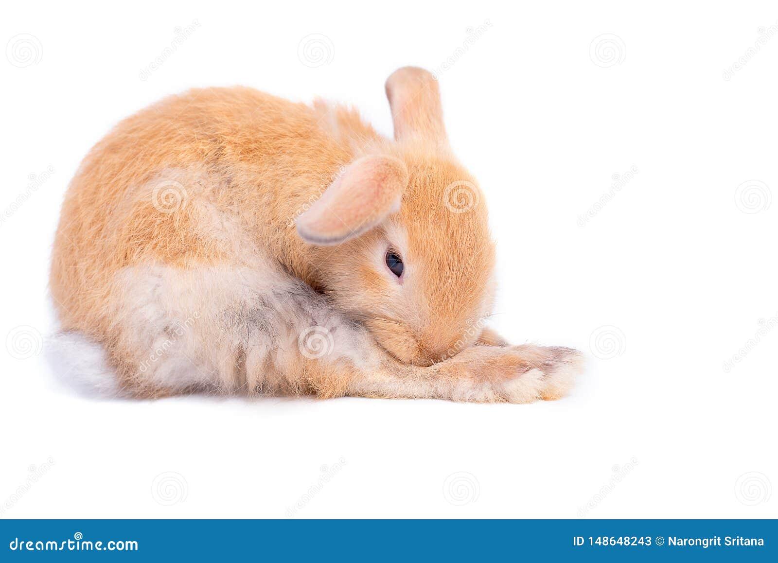 Изолированный маленький коричневый прелестный зайчик кролика на белой предпосылке с некоторыми действиями