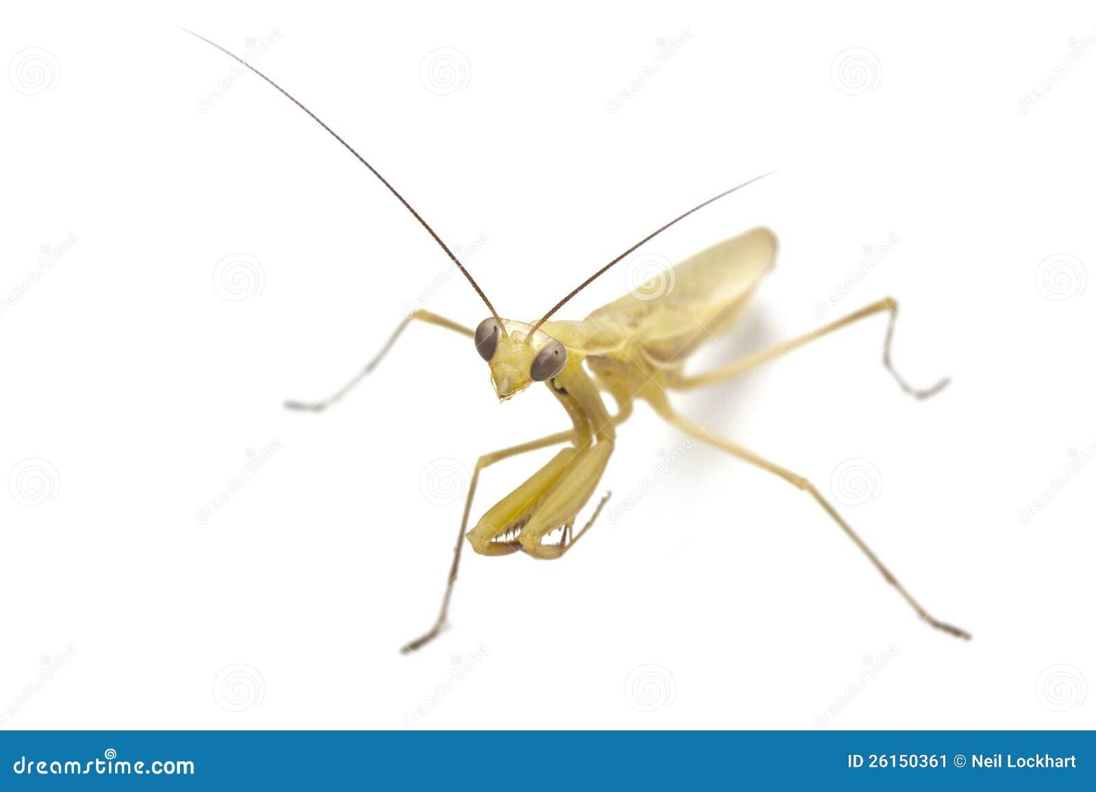 Изолированный моля Mantis