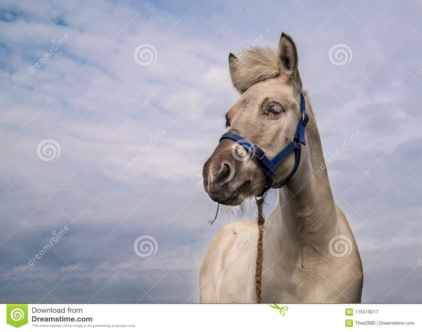 Изолированный осленок лошади фьорда
