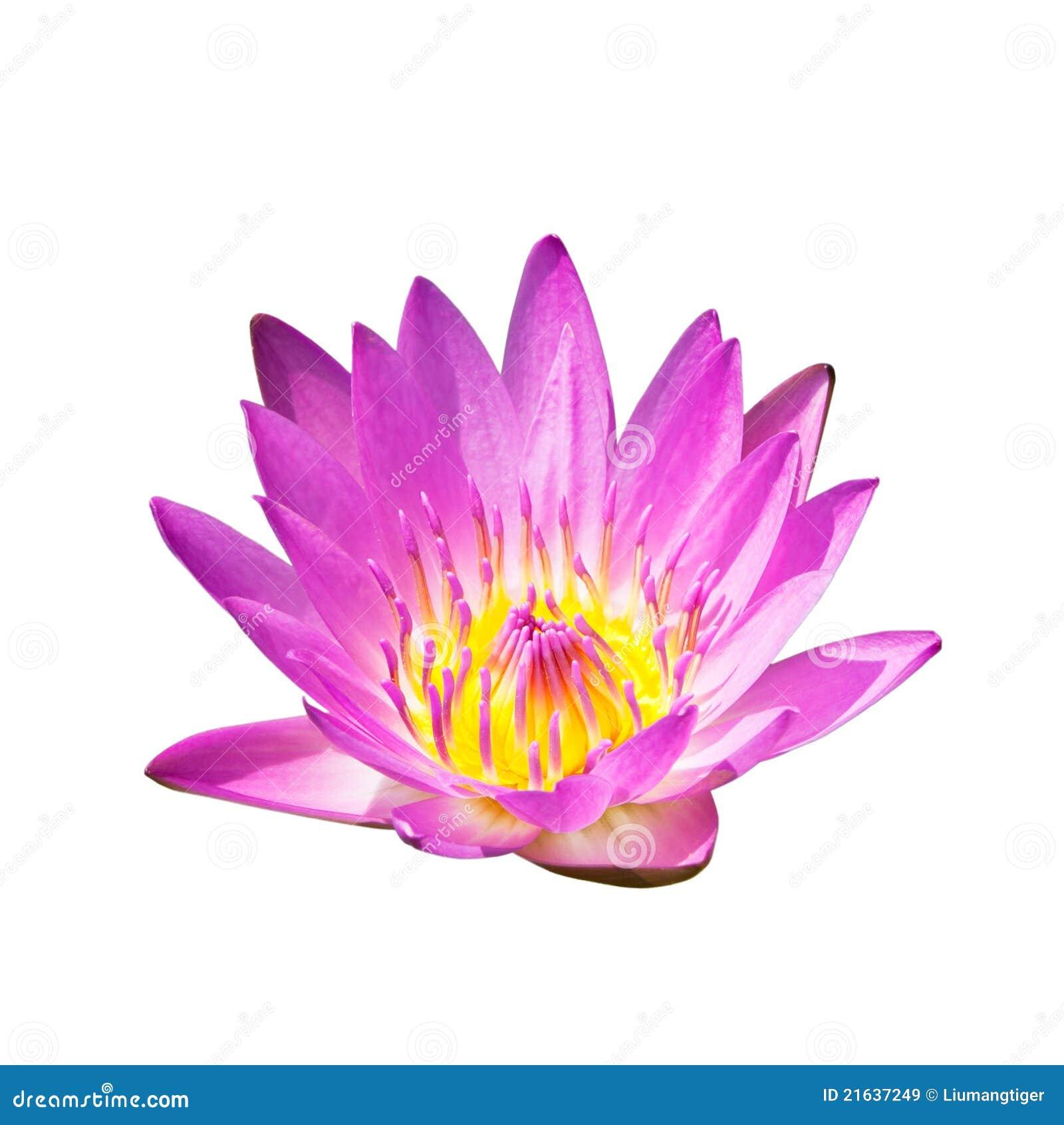 изолированный цветком пинк лотоса