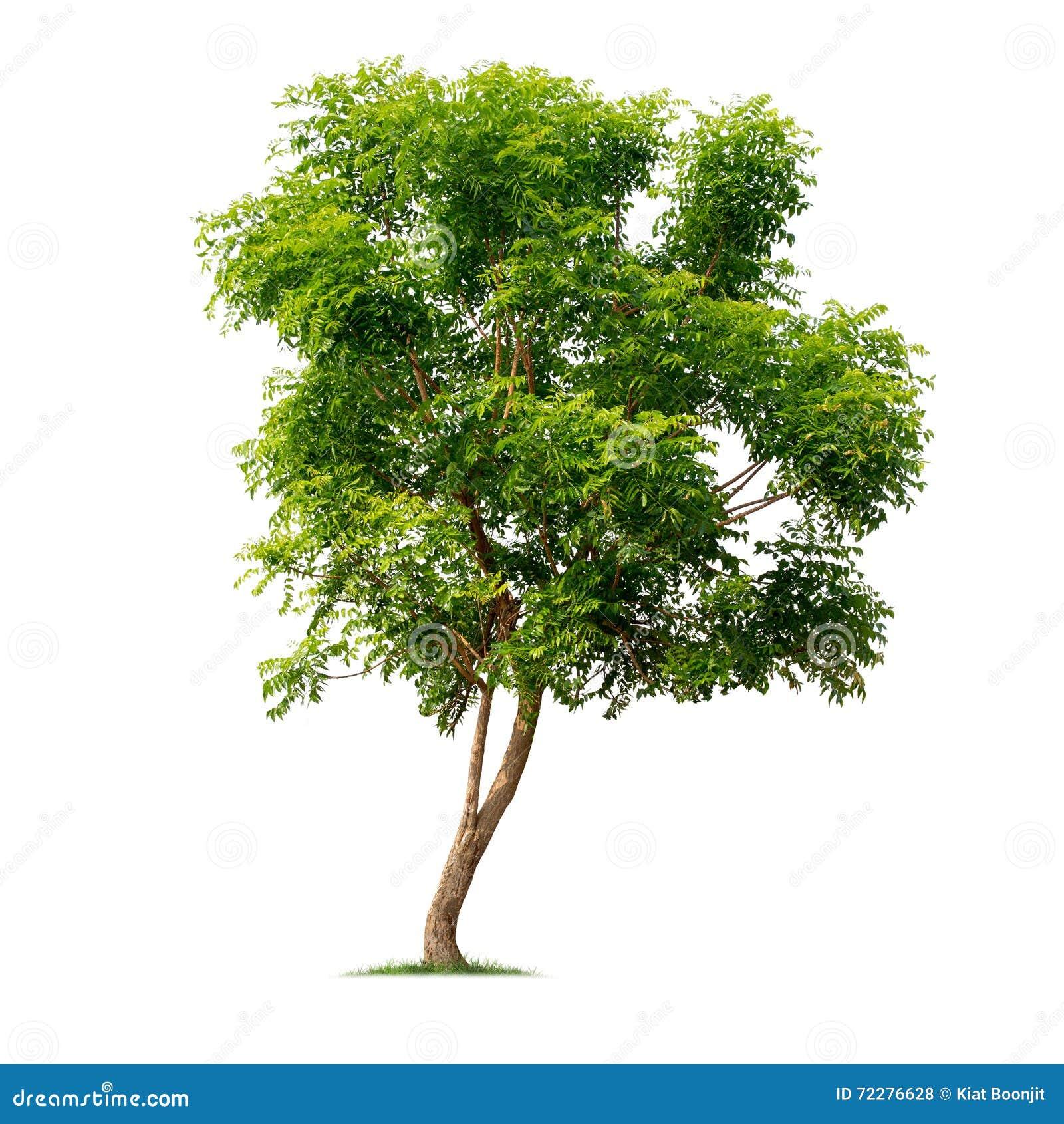 Download Изолированное дерево на белой предпосылке Стоковое Фото - изображение насчитывающей outdoors, предмет: 72276628