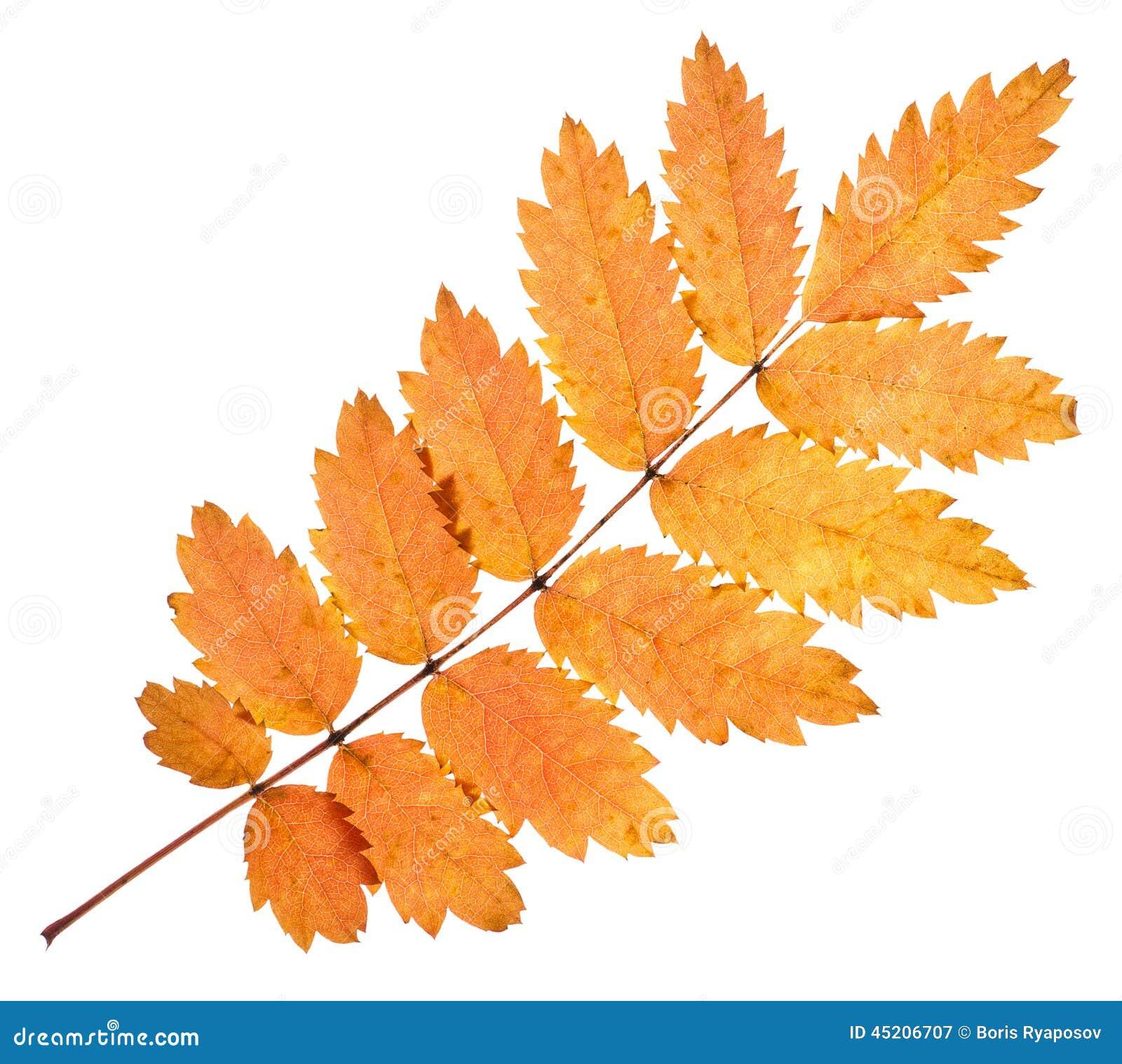 Картинки лист рябины осенью