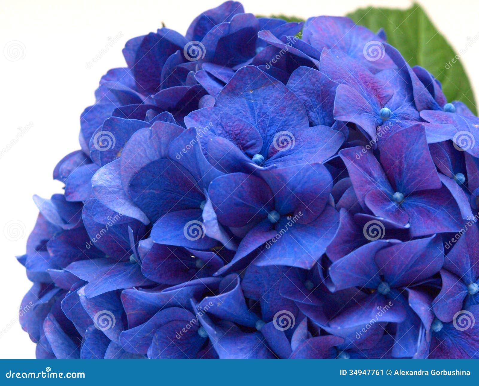 Изолированный голубой цветок гортензии на белой предпосылке