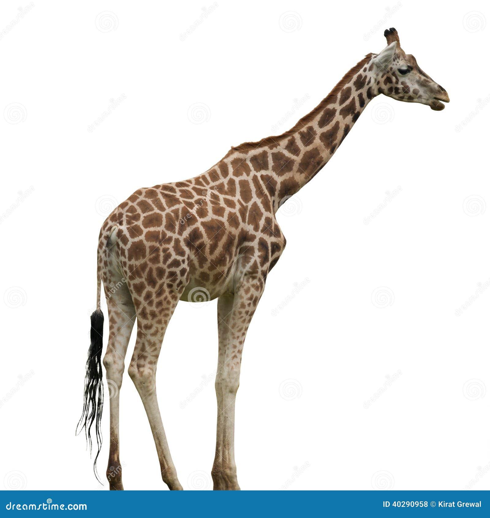 Изолированный жираф