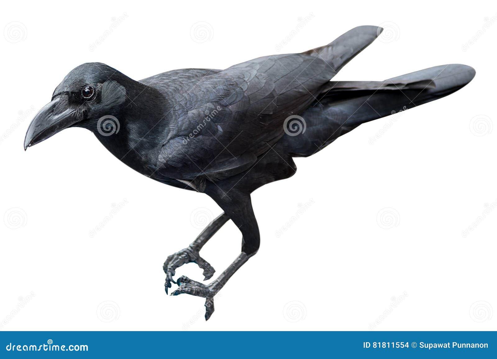Изолят птицы ворона на белой предпосылке